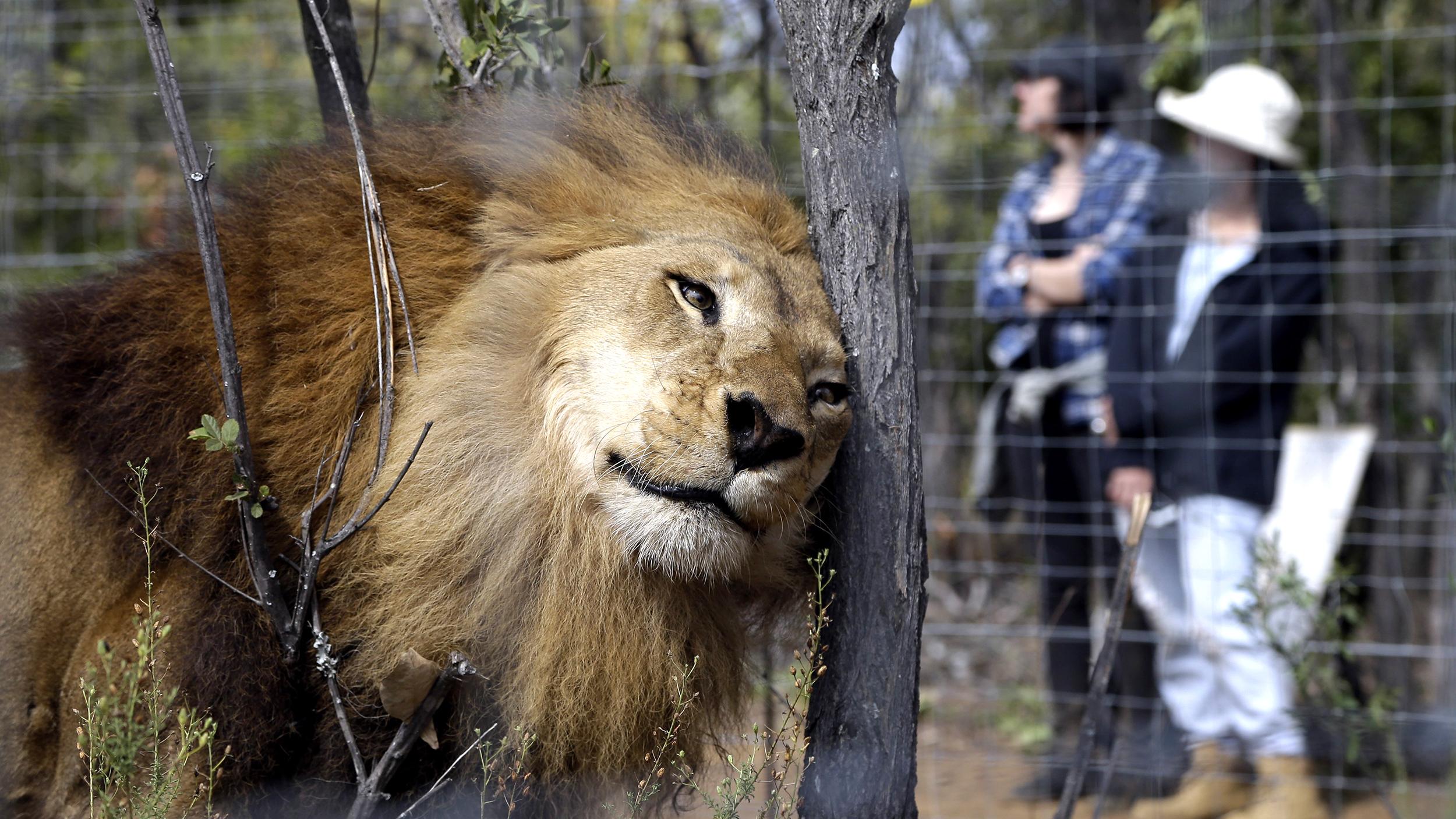 33 lions saved