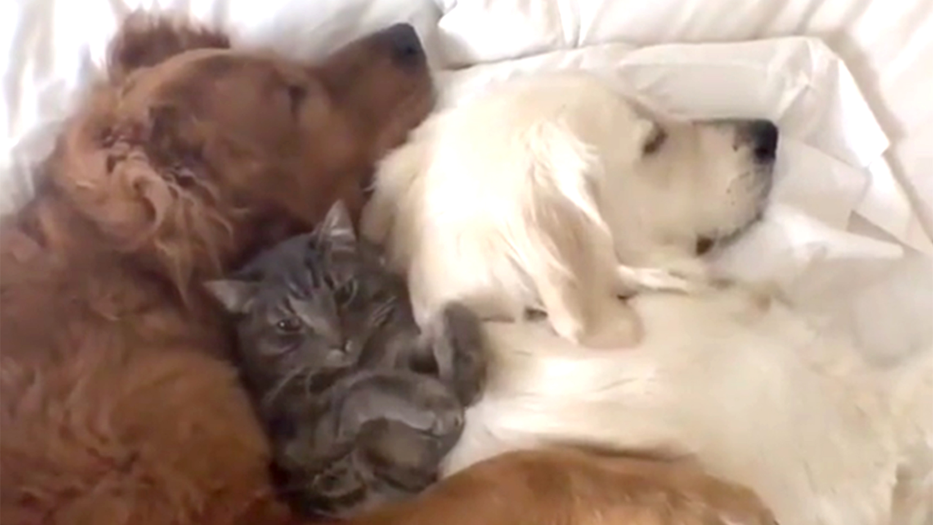 Watch This Adorable Cuddle Session Between 2 Dogs And A Cat