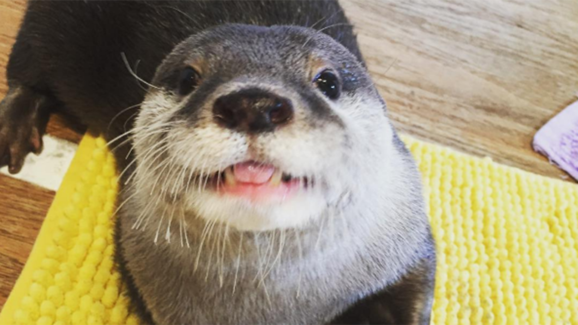 watch this adorable otter eat everything in sight todaycom