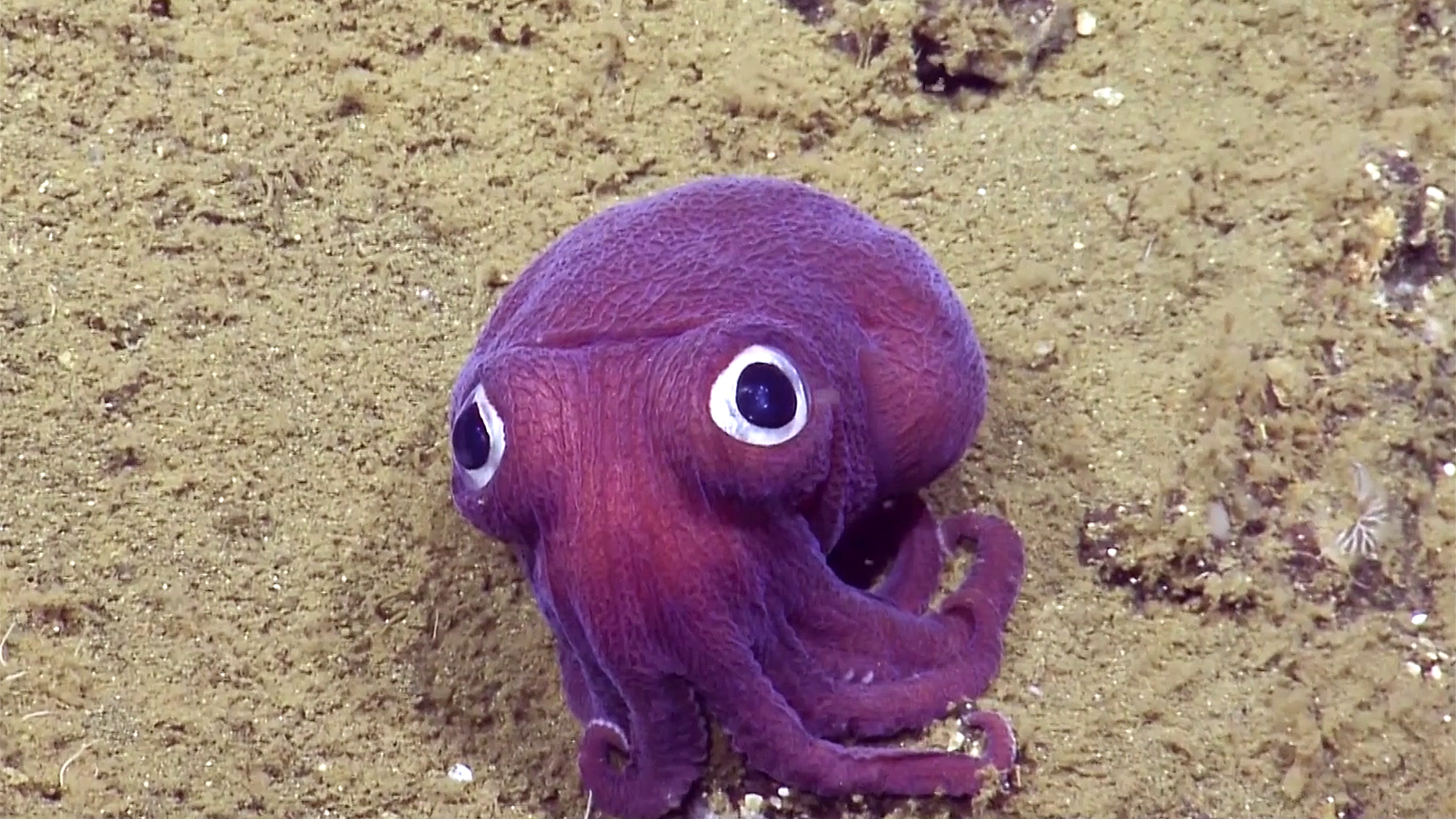 This Googly Eyed Squid Gives Sober Scientists The Giggles