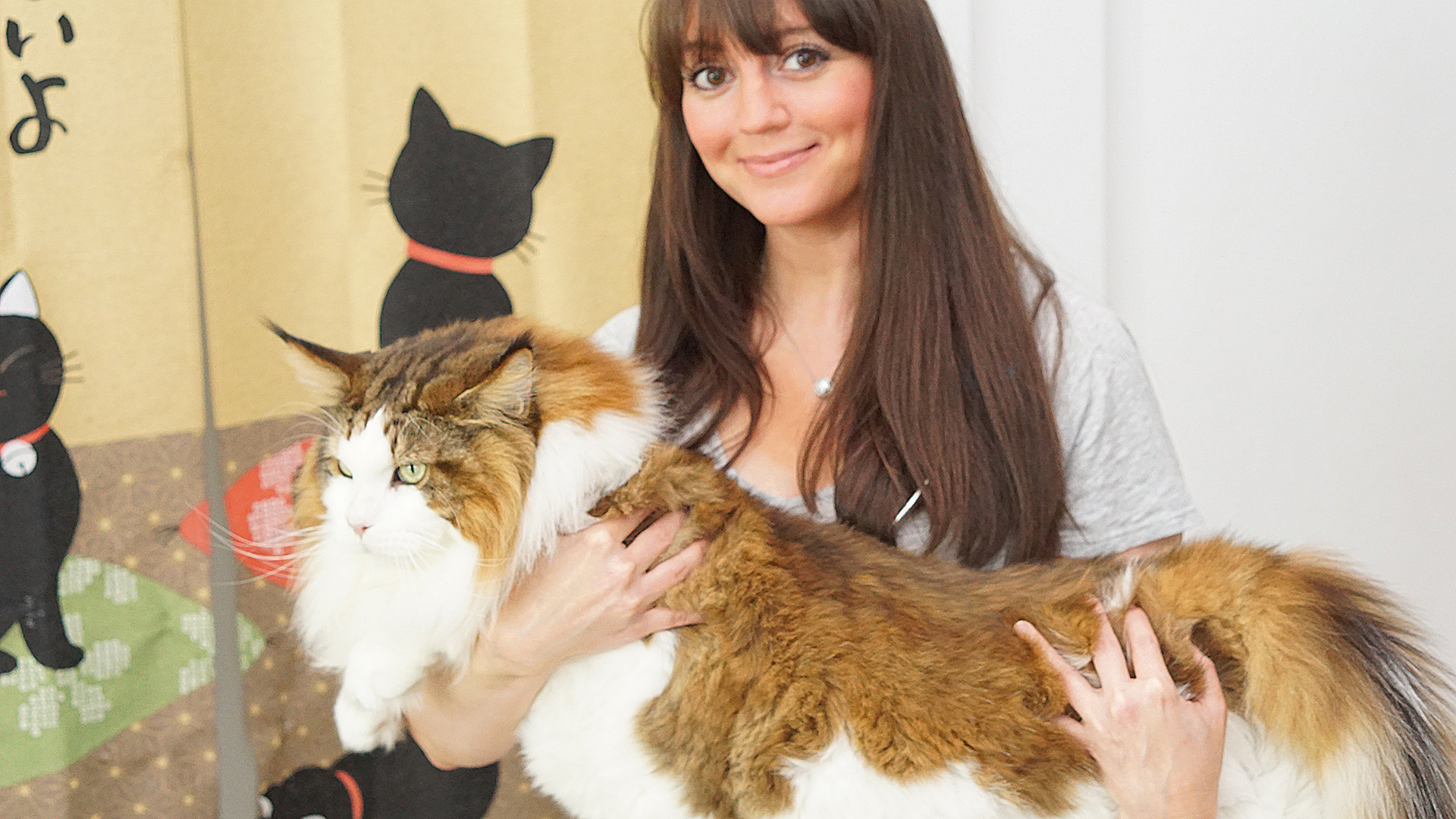 samson the cat billed as largest feline in new york at pounds - Biggest Cat In The World Guinness 2014