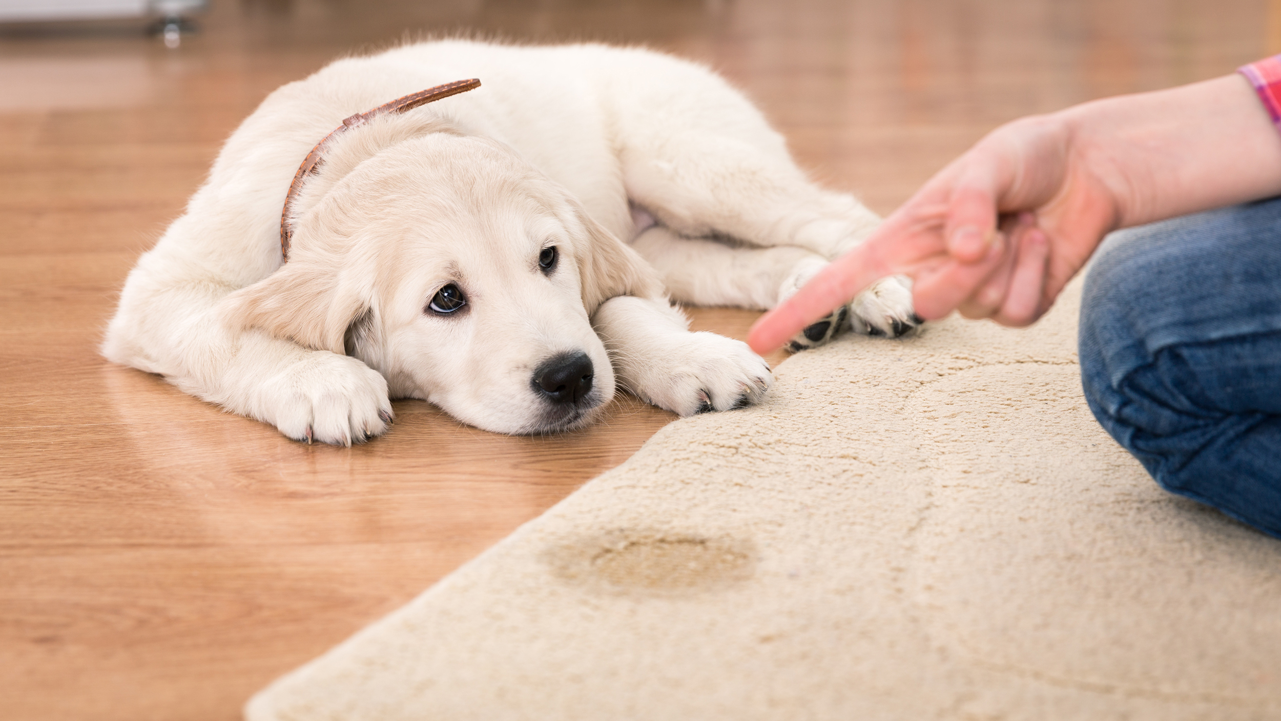 How To Remove Pets Stain From Carpet