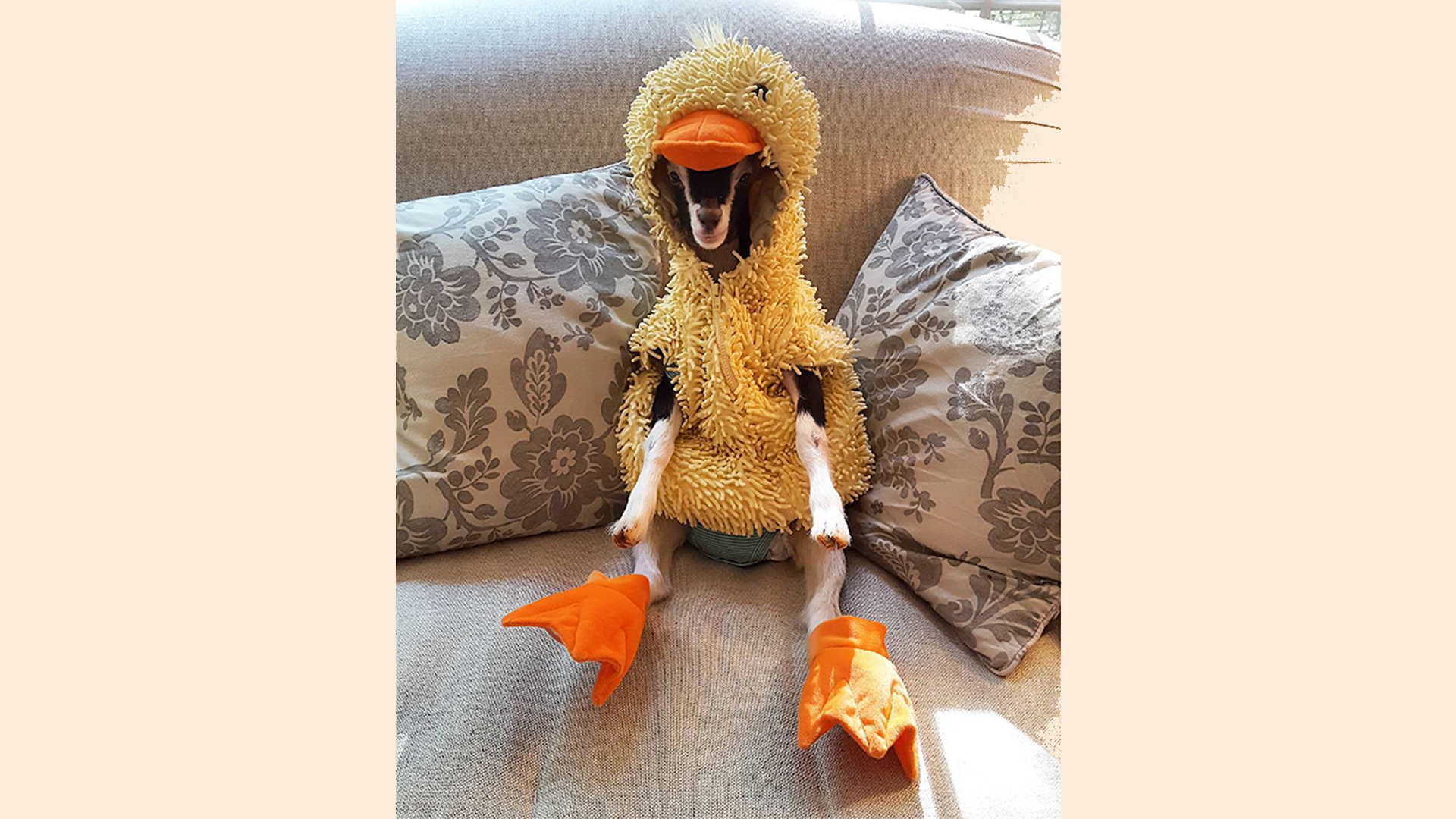 Goat With Anxiety Only Calms Down When In Duck Costume - Rescue goat suffers anxiety calms duck costume
