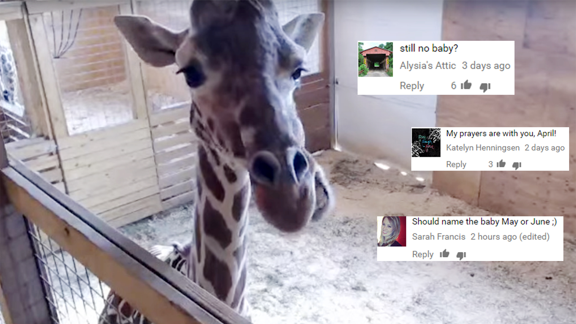 April The Pregnant Giraffe Has A Message For Everyone