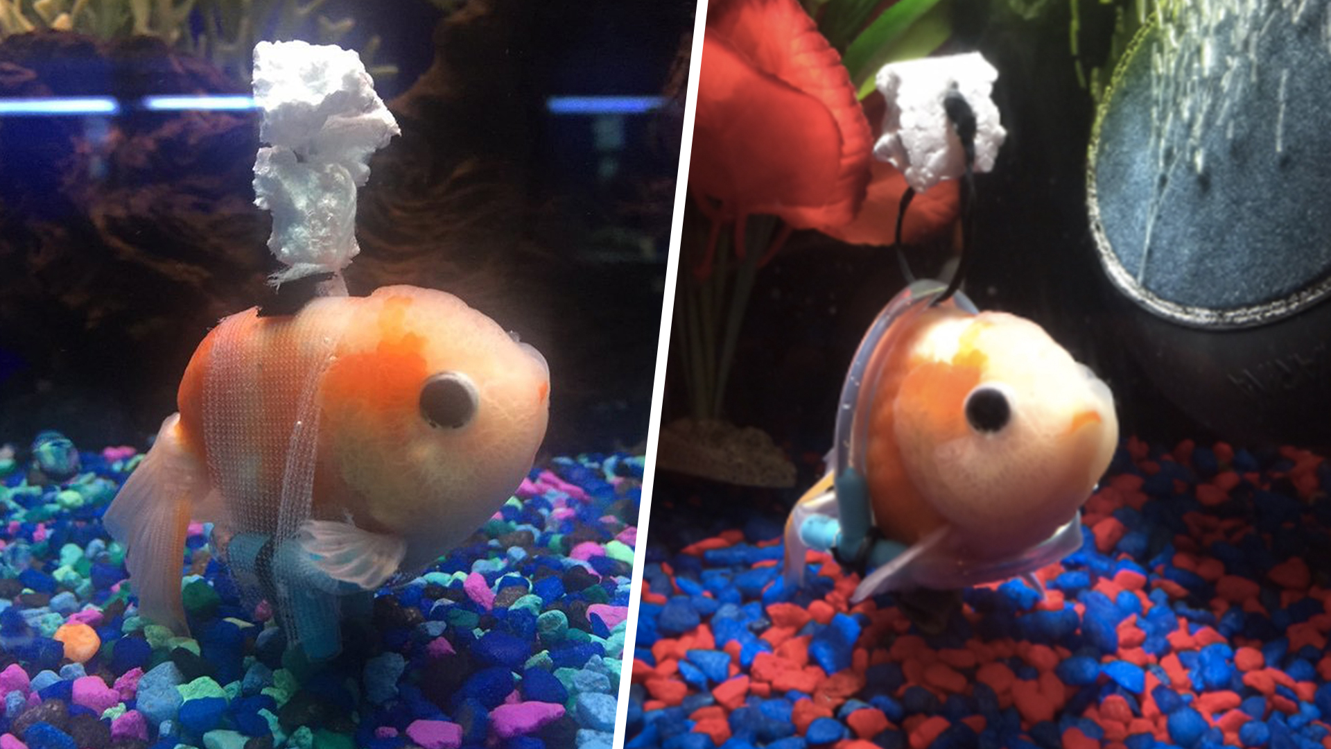 Disabled goldfish s a tiny wheelchair to help him swim