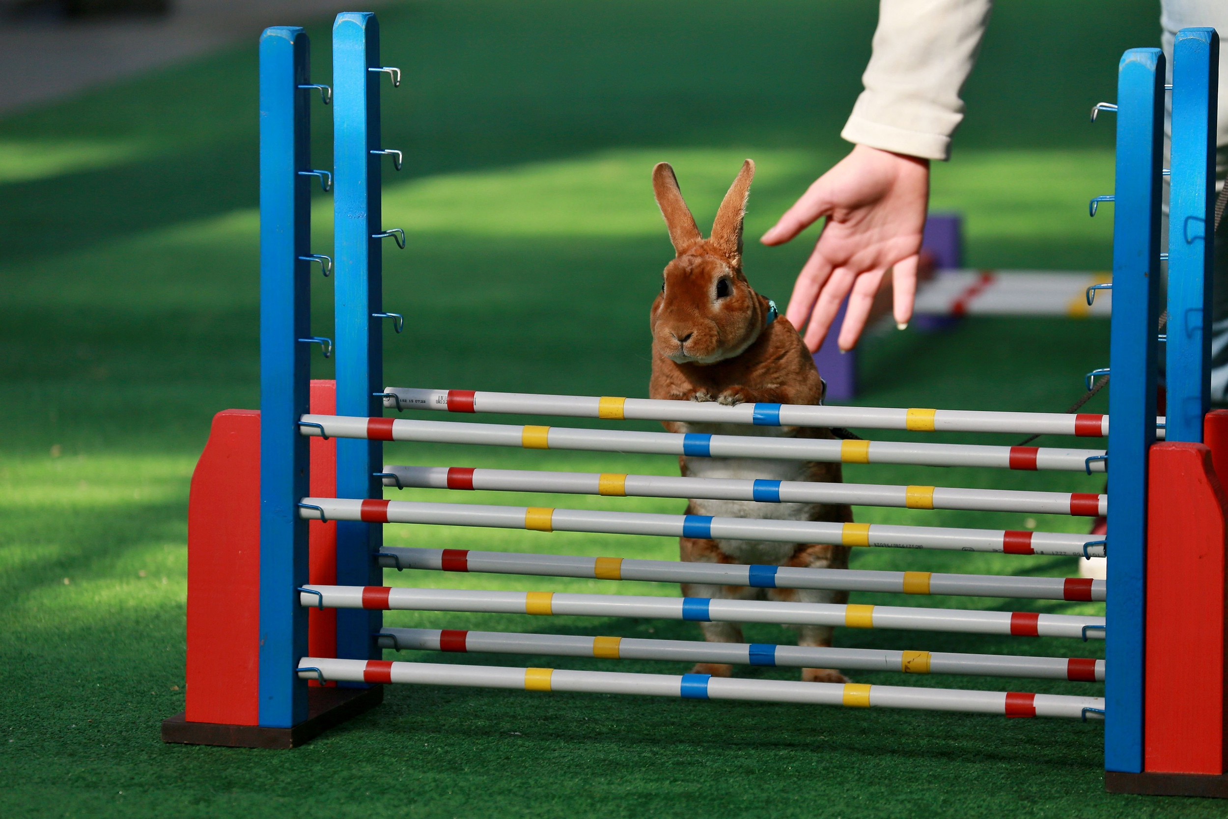 animal tracks rabbits jump through an obstacle course and it s adorable