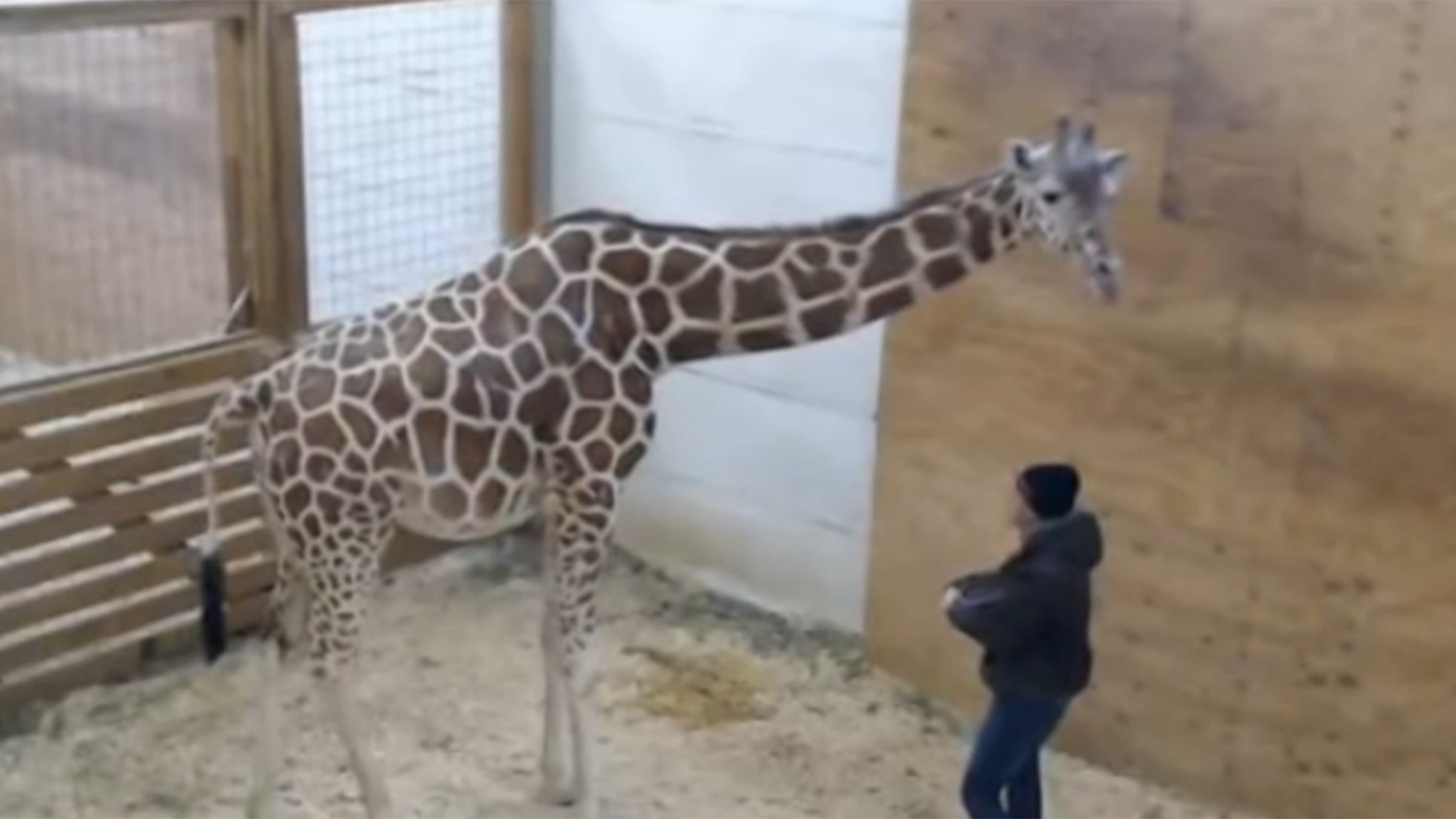 Watch April the Giraffes Baby Finally Has a Name video