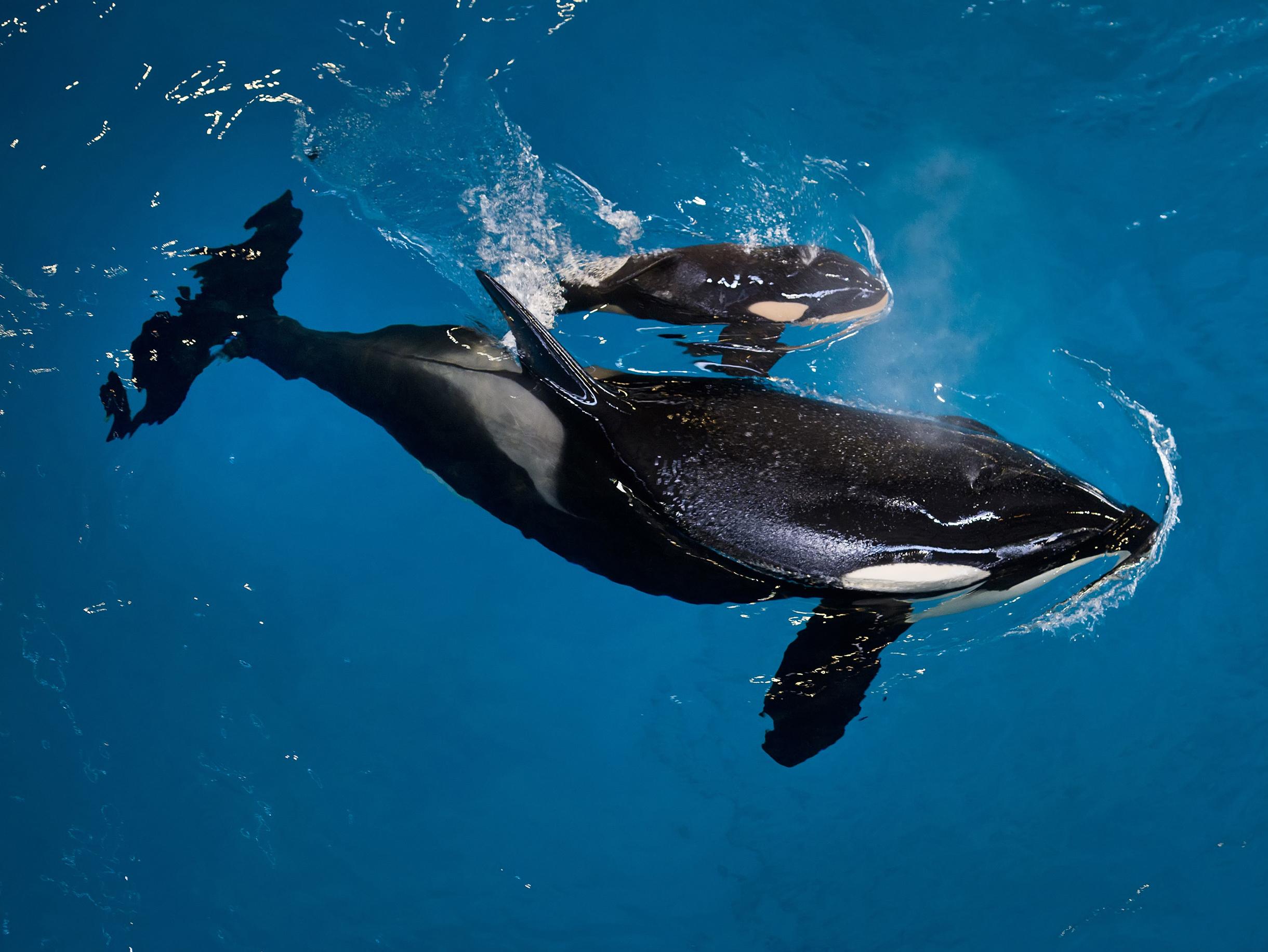SeaWorld's-Last-Baby-Killer-Whale-Born-at-Texas-Park
