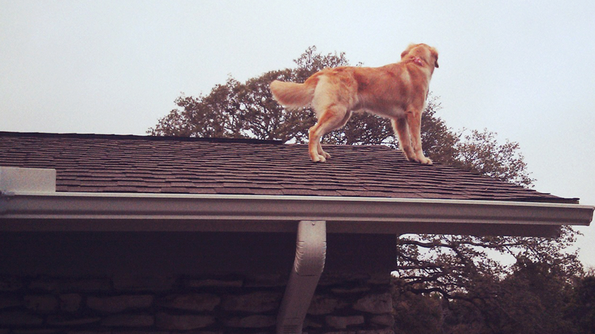 meet huck the roof dog the dog who likes to hang out on