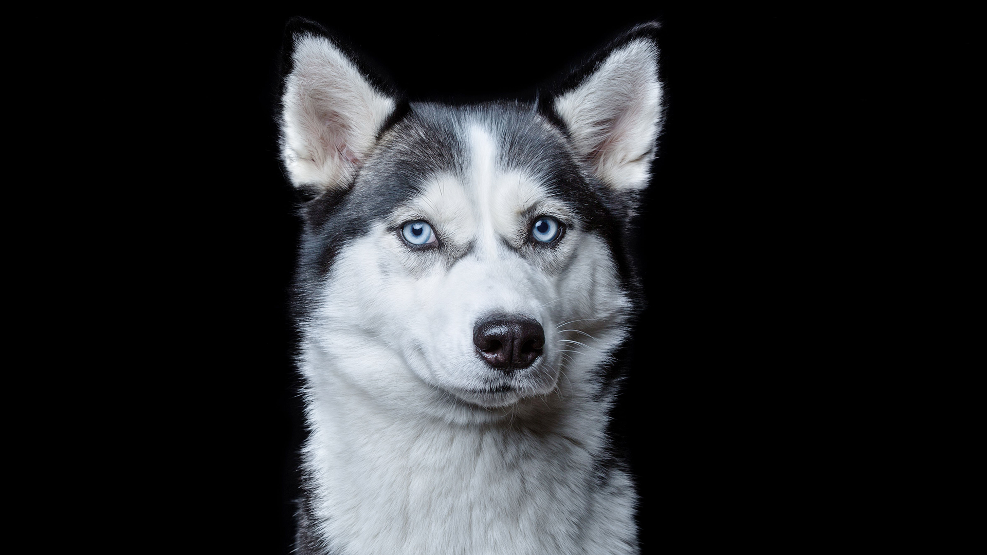 Shaved husky photo sparks outrage: Should double-coated dogs be shaved?