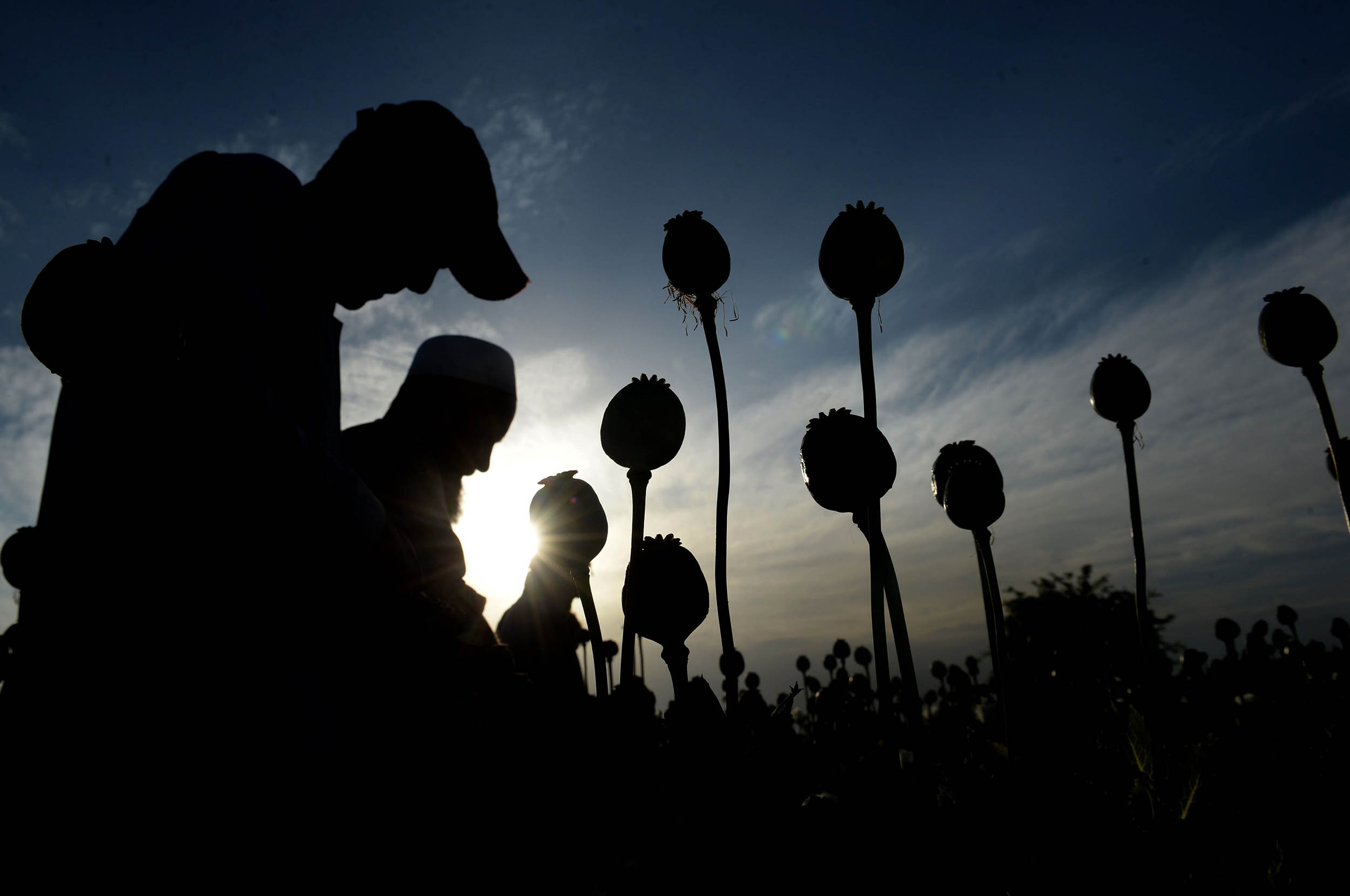 Image: Afghan farmers harvest opium sap from their poppy fields in the Surkh Rod district of Nangarhar province