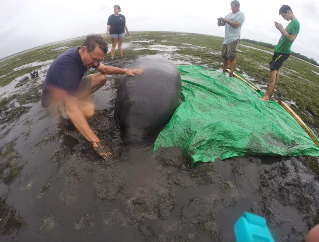 Image: People help a stranded manatee in mud as water recedes in the bay in Sarasota