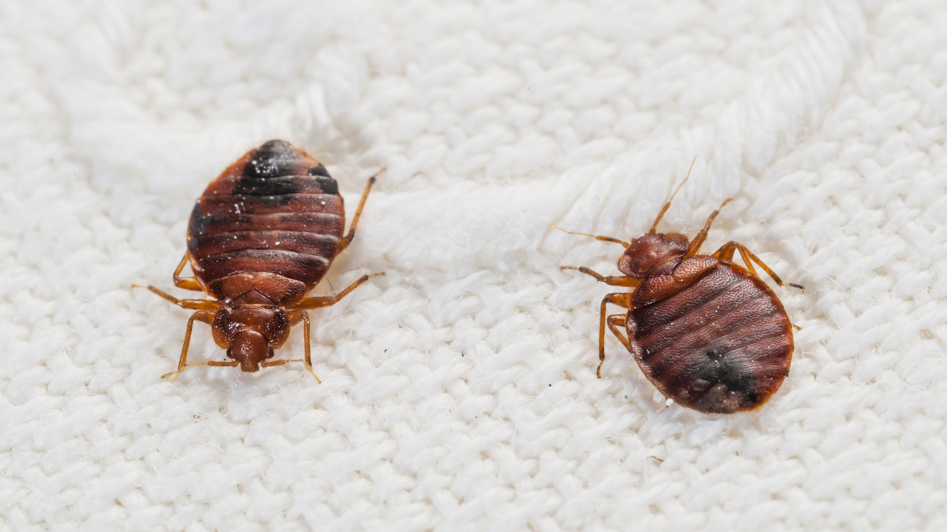 Could your dirty laundry help spread bedbugs for Are bed bugs red