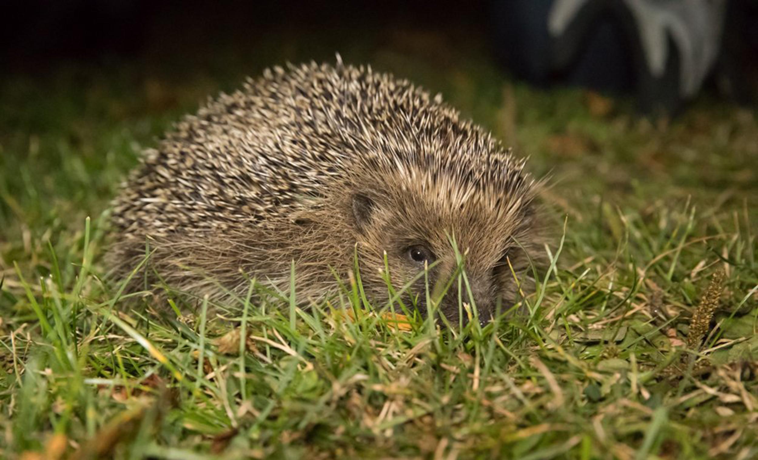 Image: Hedgehog
