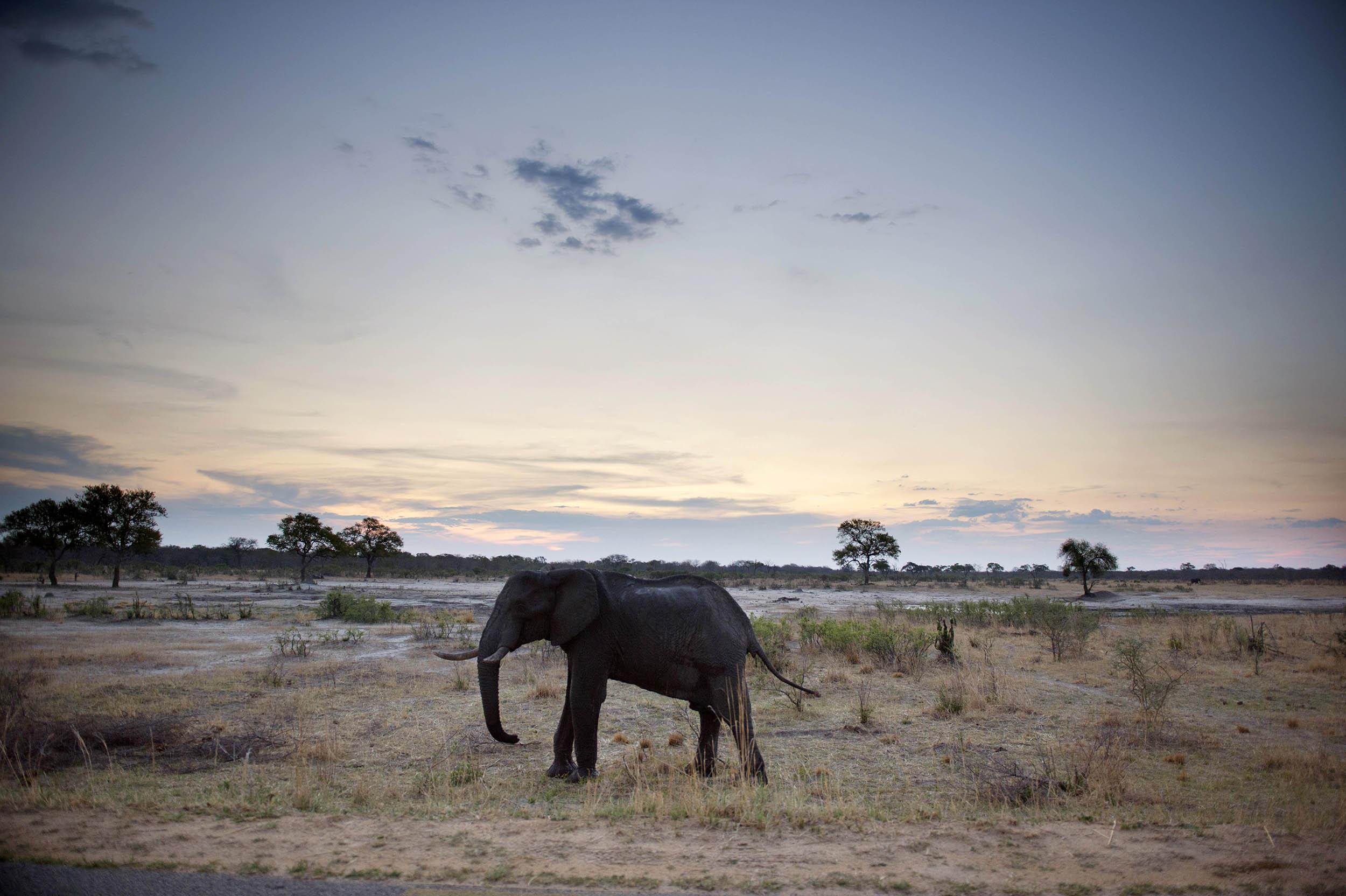 Image: African Elephant