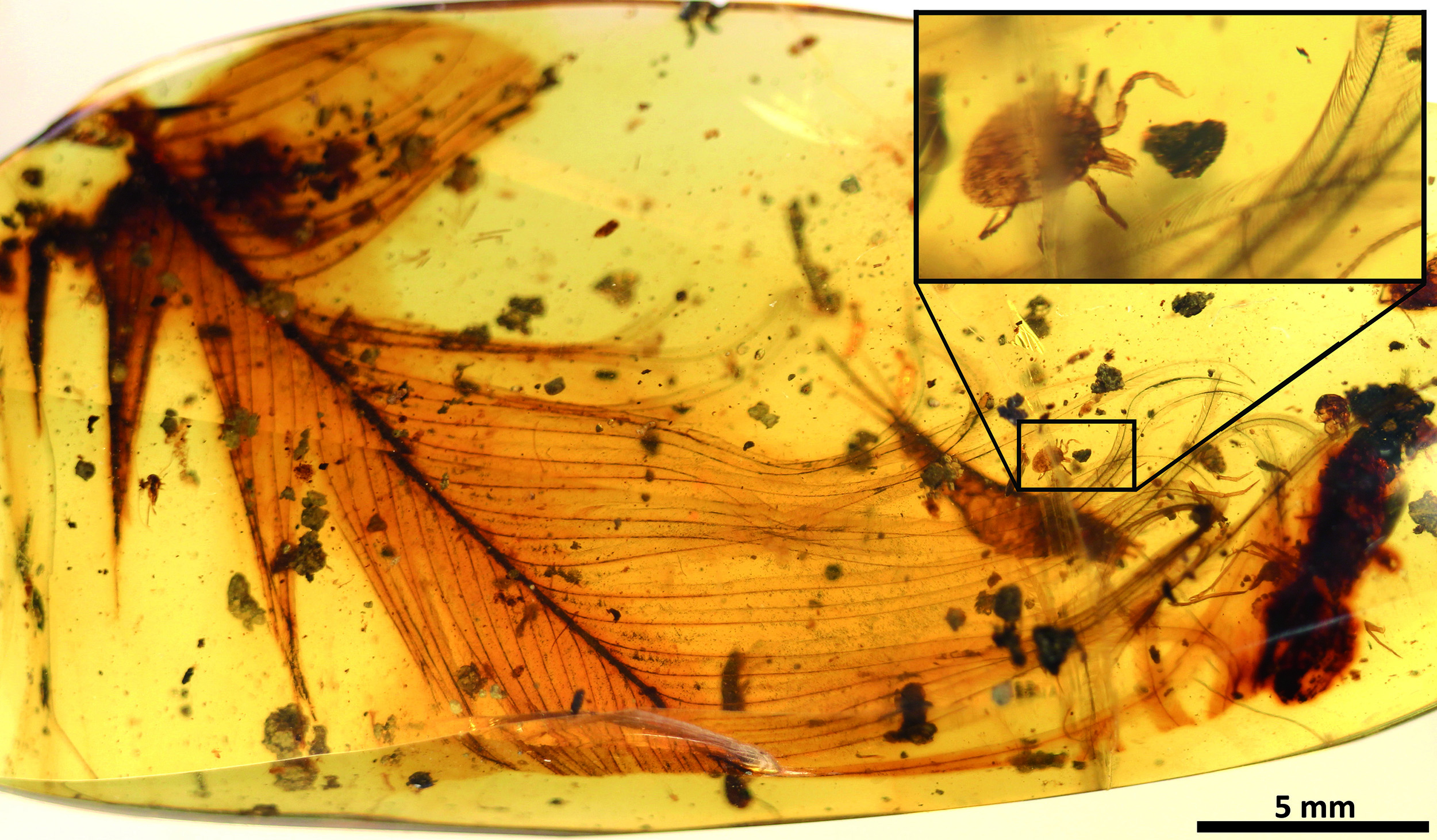 Ticks fed on dinosaurs, amber evidence shows