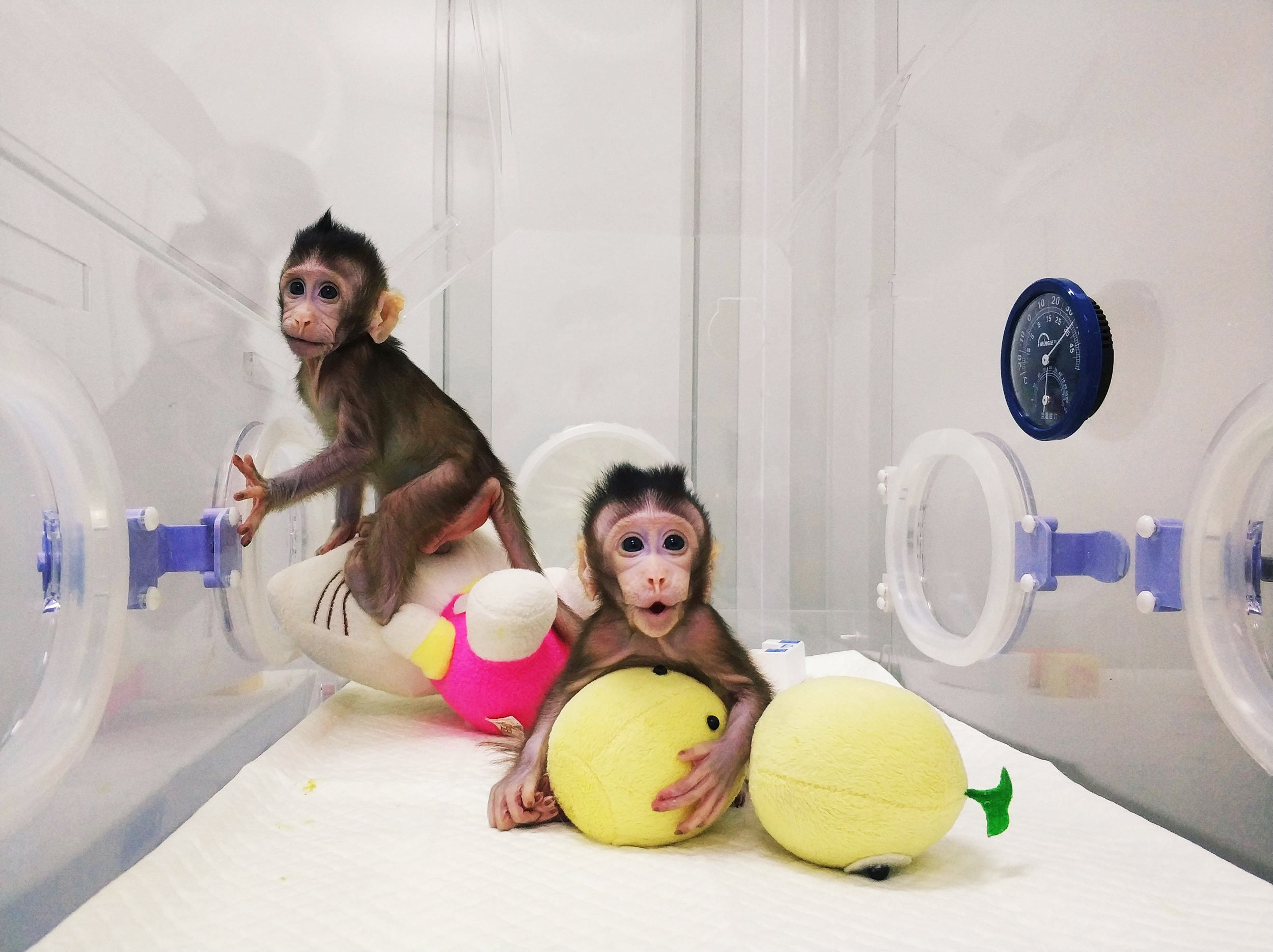 Chinese scientists clone monkeys, break barrier to human cloning