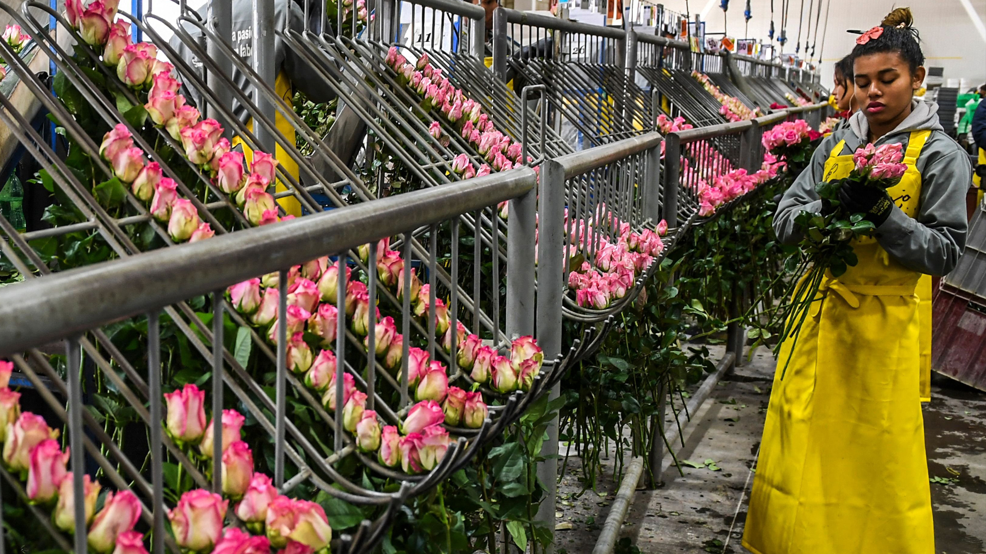 Colombia's-cash-crop:-Flowers-for-Valentine's