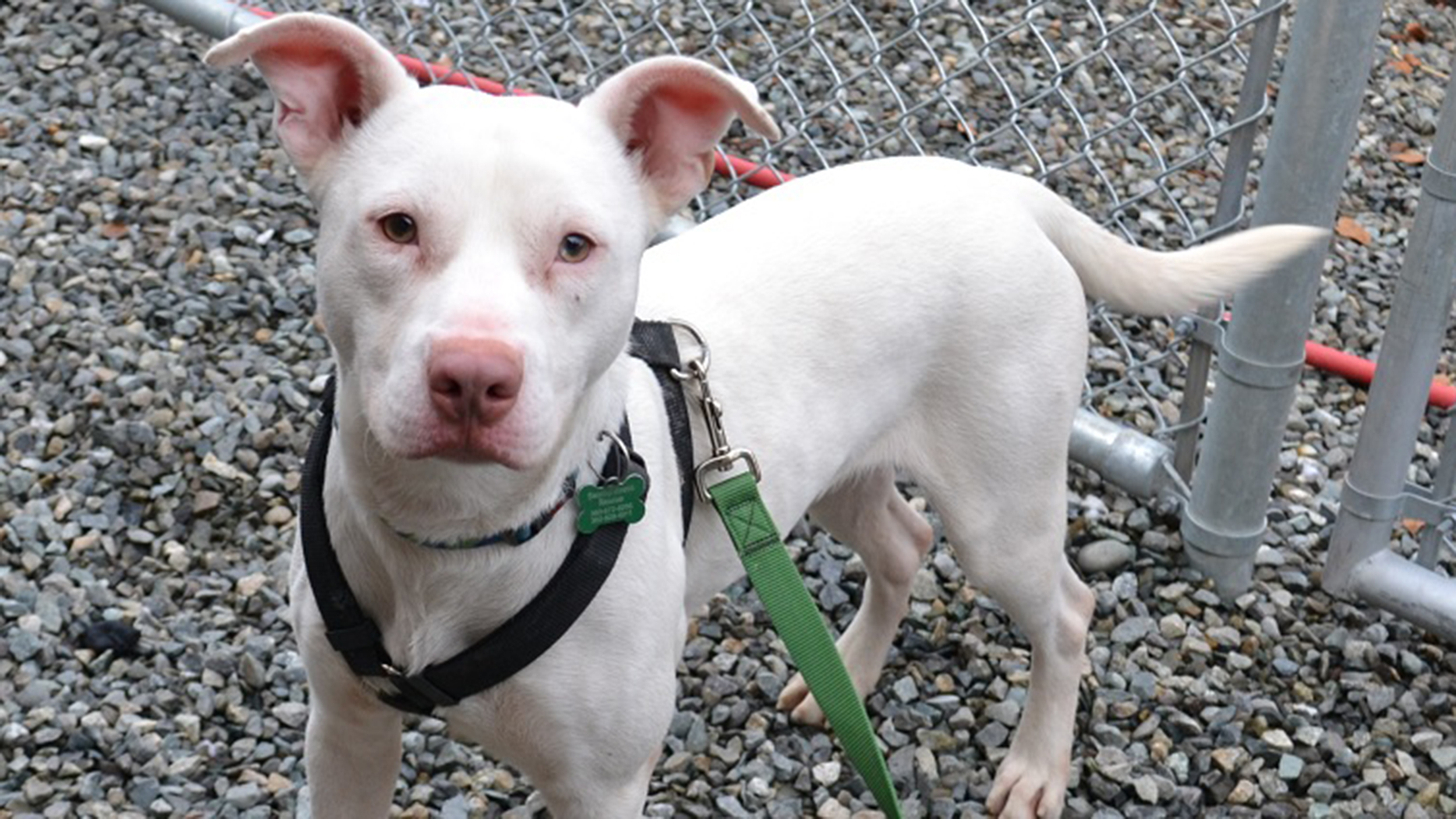 Meet ghost the 1st deaf k 9 in washington state publicscrutiny Images