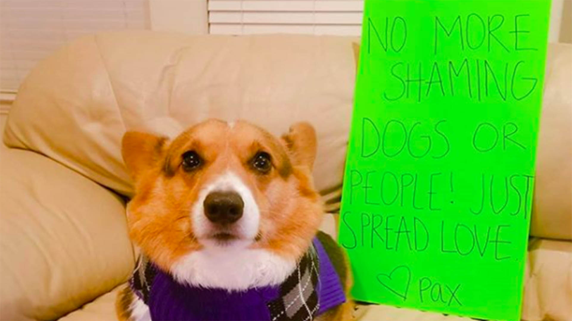 is this corgi obese the sad truth behind a viral photo