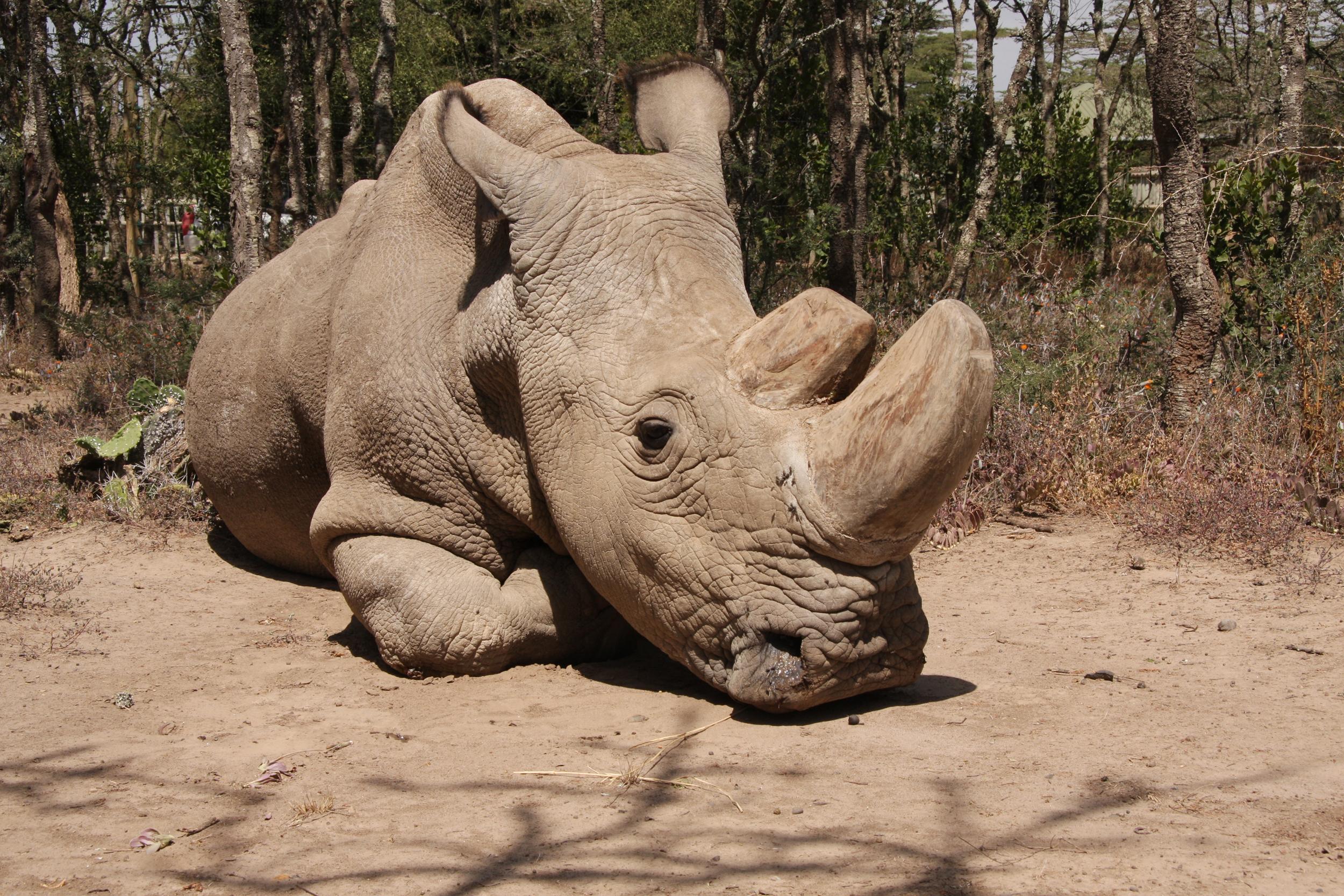 A sad rhino