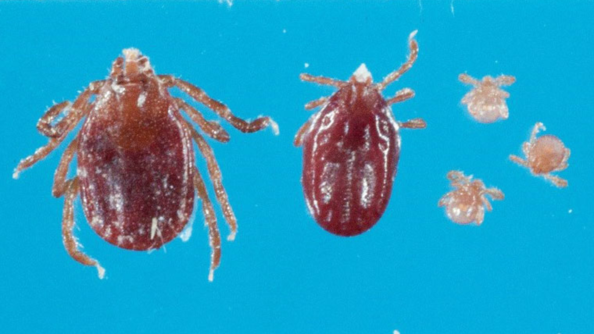 A Foreign Tick Species Has Invaded the U.S., Potentially Bringing New Diseases