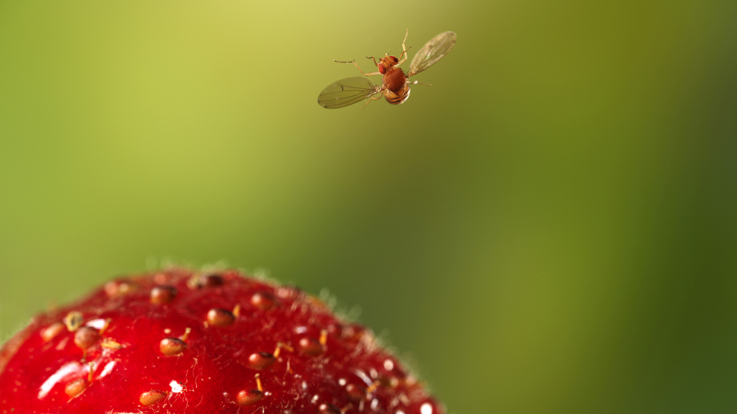 How to easily get rid of fruit flies