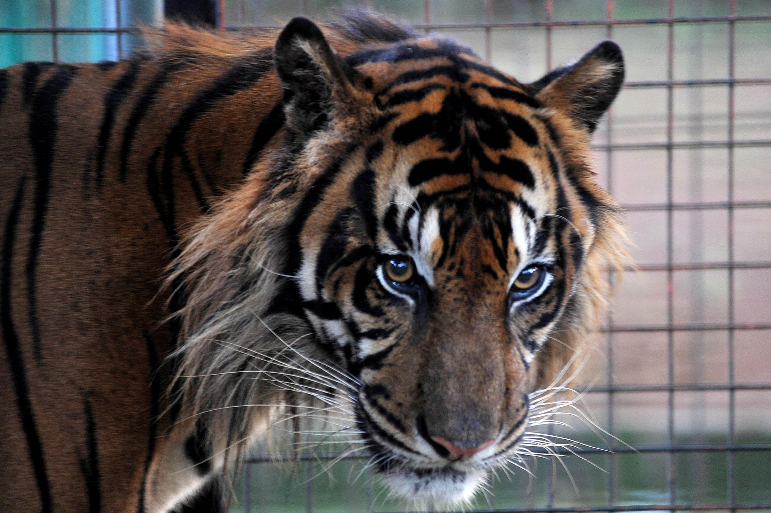 tiger at prom miami school faces backlash for bringing exotic