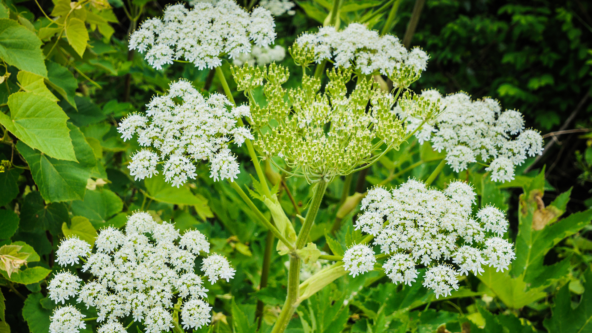 Giant Hogweed Toxic Plant With Sap That Causes Burns Blindness