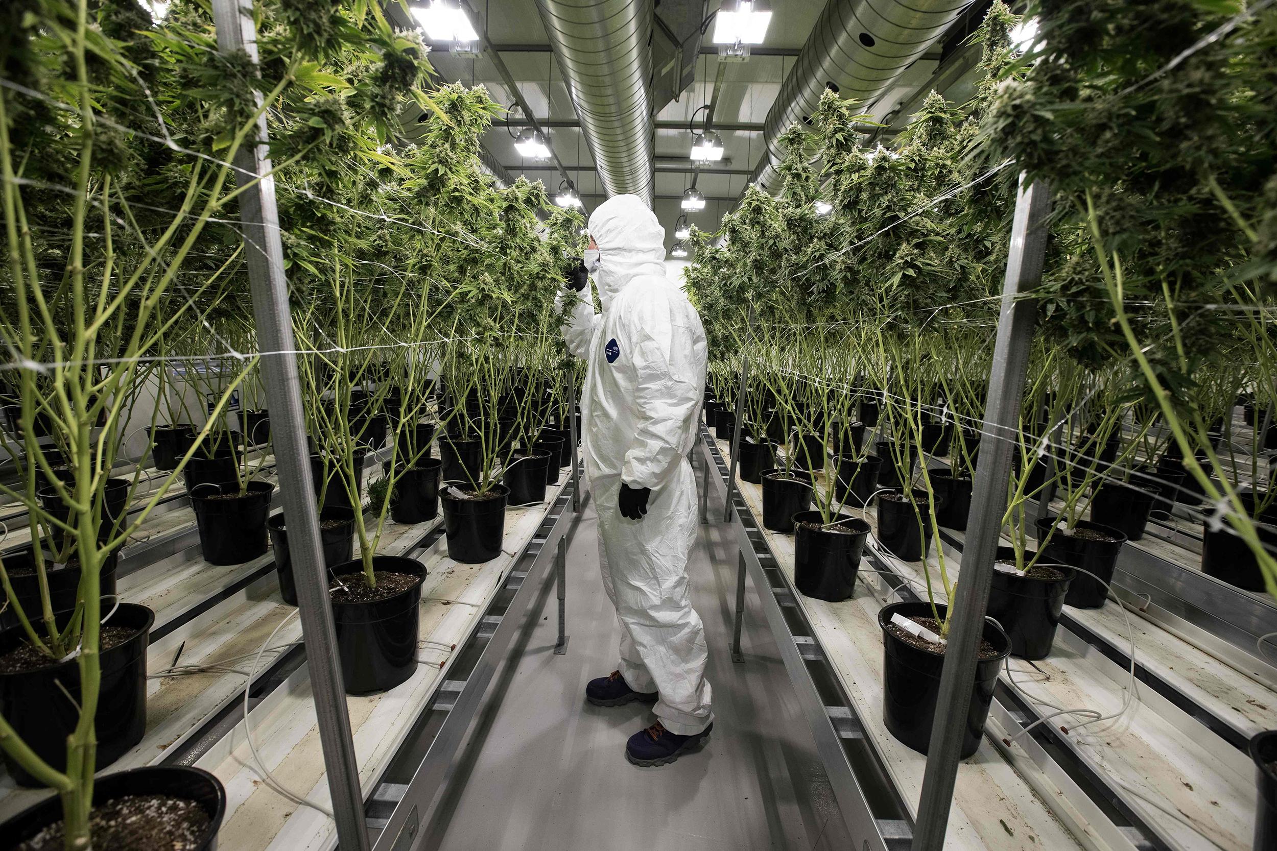 Canada's Senate passes marijuana bill but legalization delayed