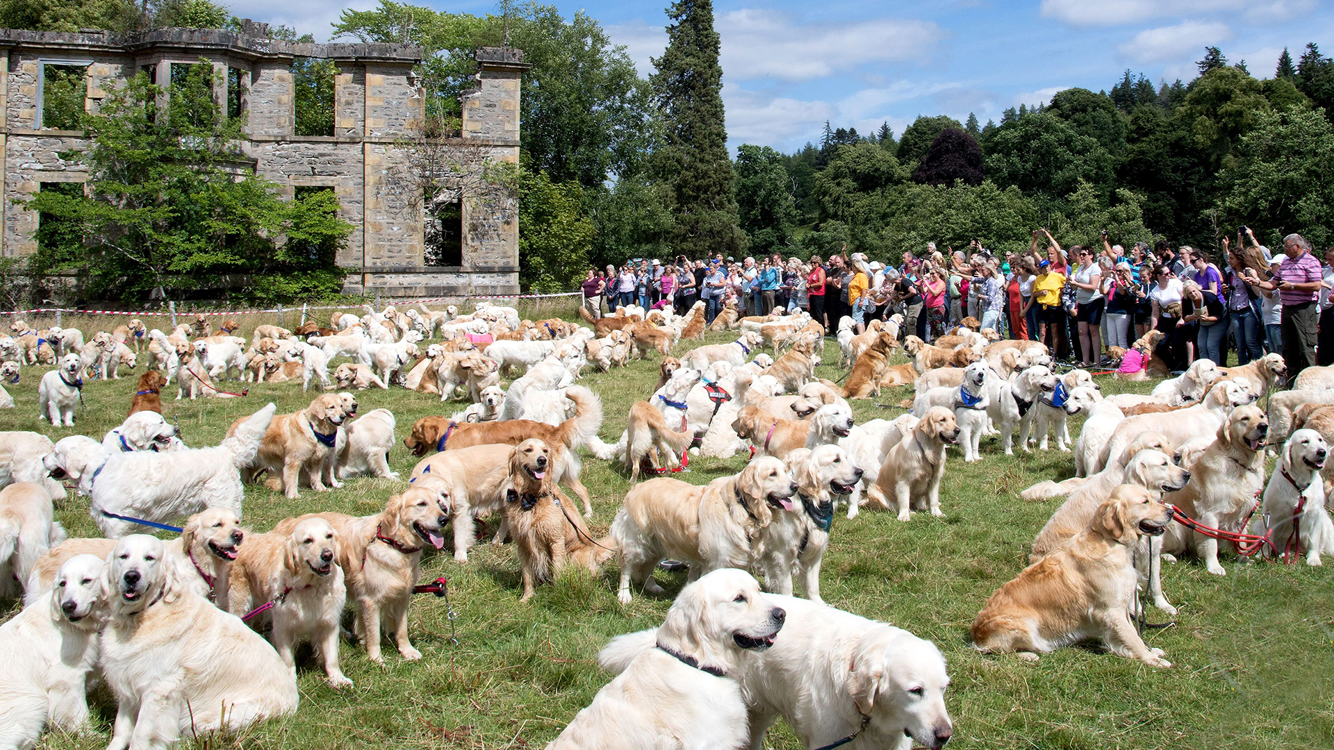 Hundreds of golden retrievers met in Scotland for 150th anniversary of breed