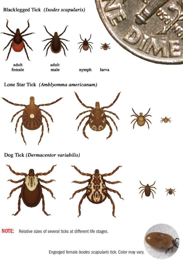 Ticks that commonly bite humans.