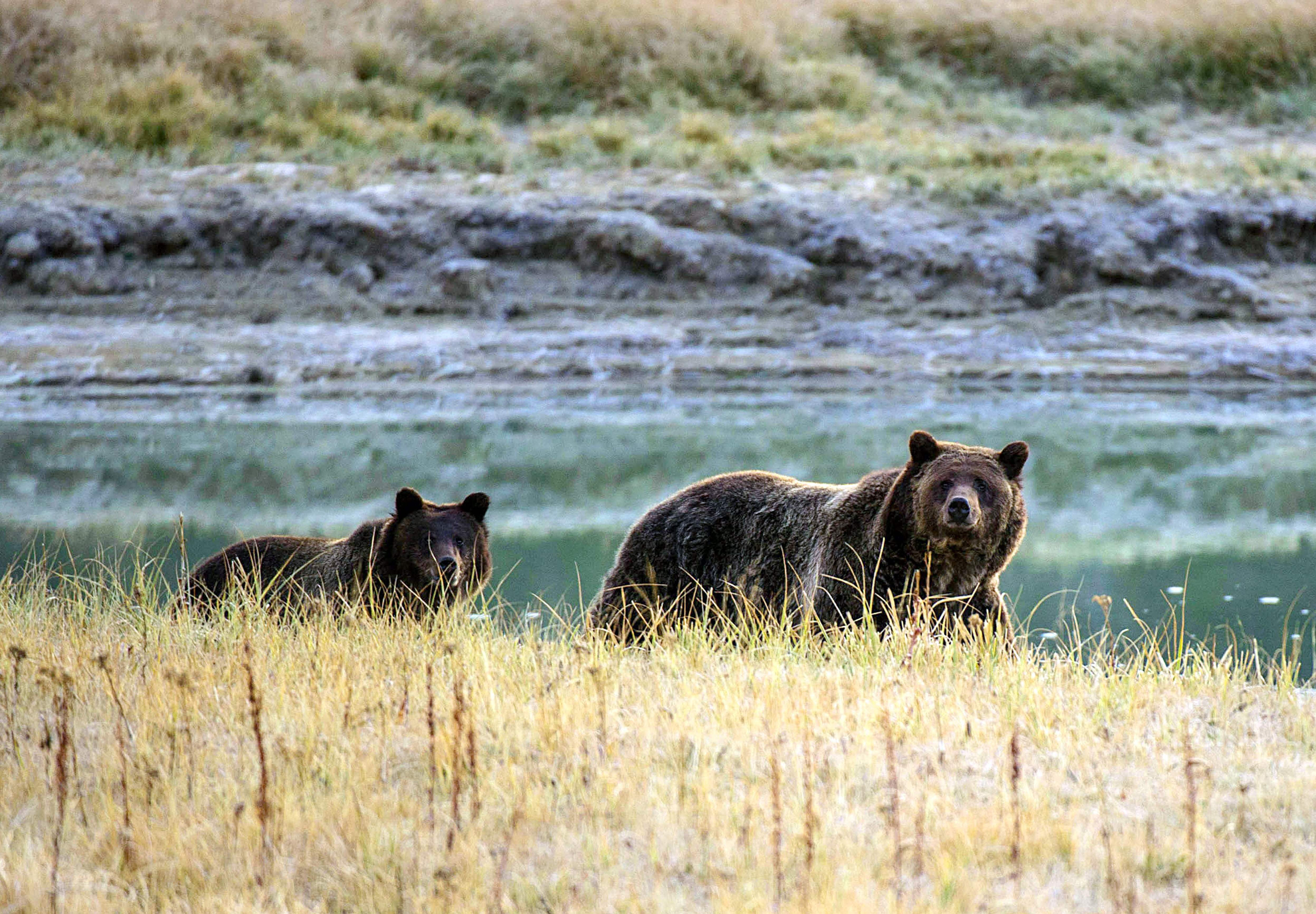 Judge halts first grizzly bear hunts in more than 40 years in Wyoming, Idaho