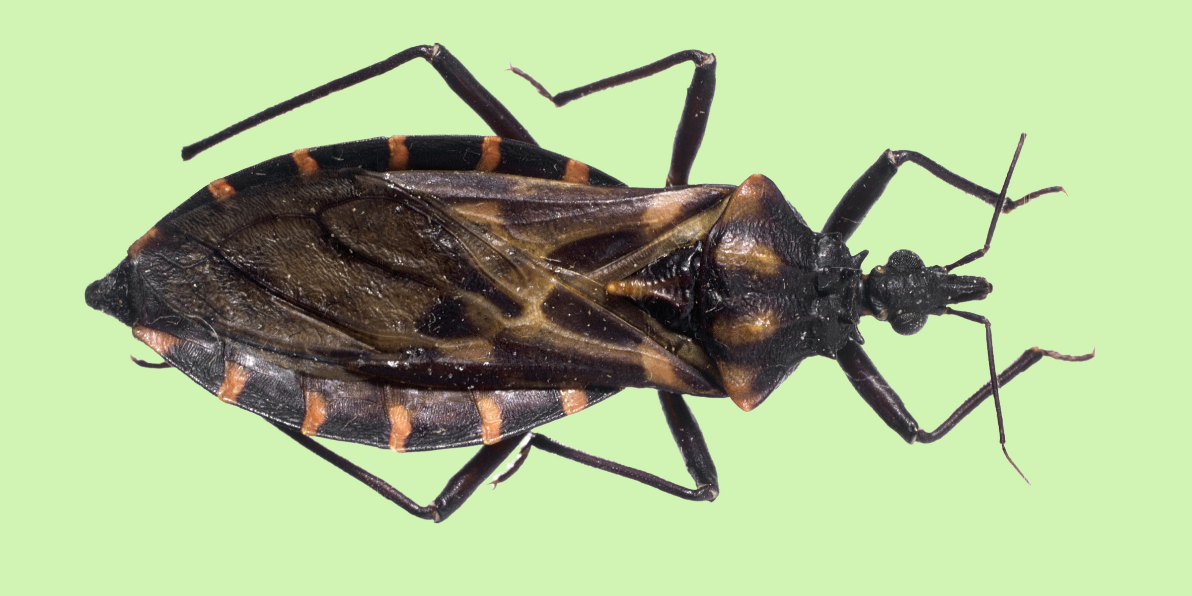 CDC confirms dangerous 'kissing bug' spreading north again