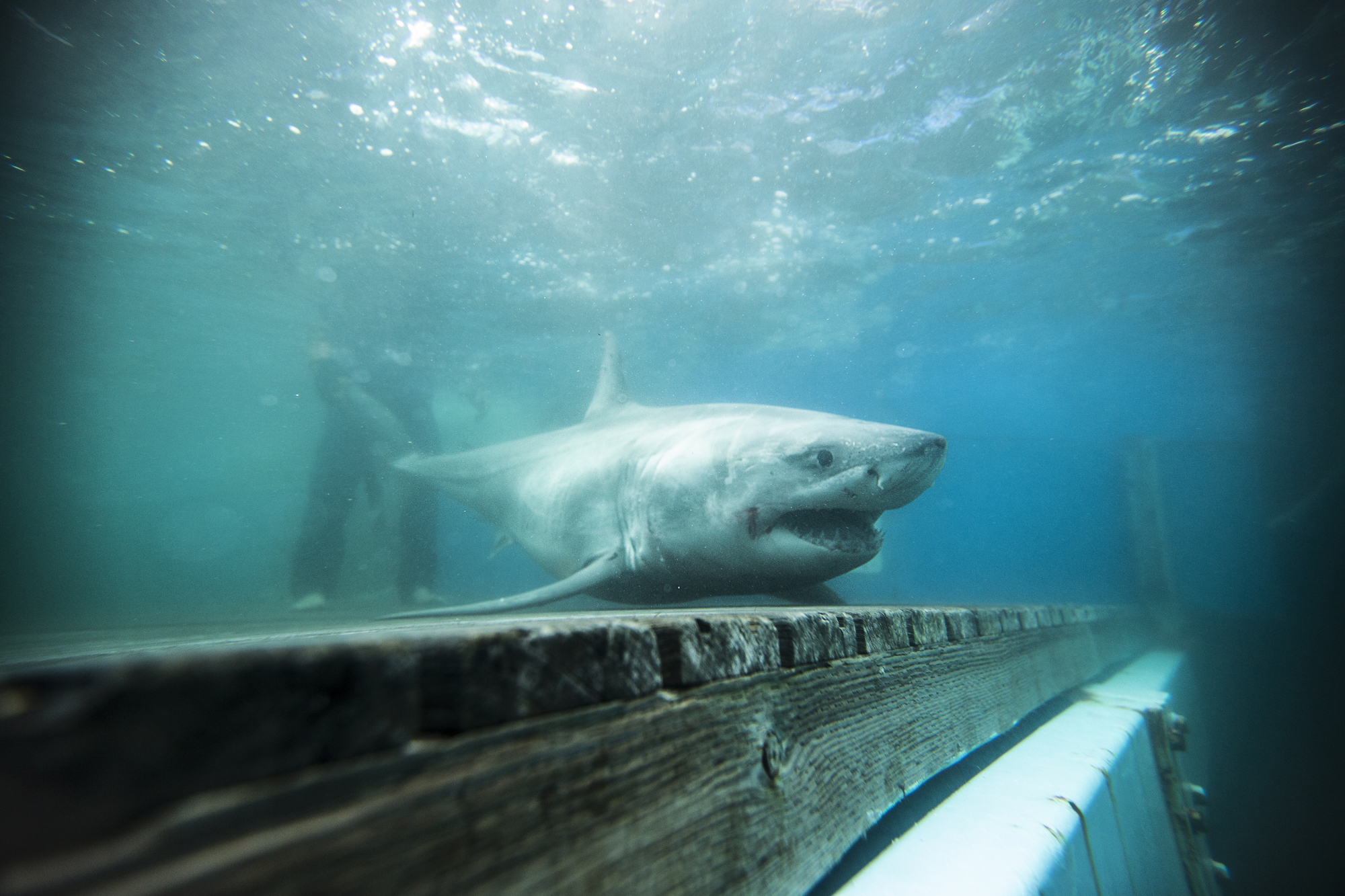 A great white shark is tracked in Long Island Sound for