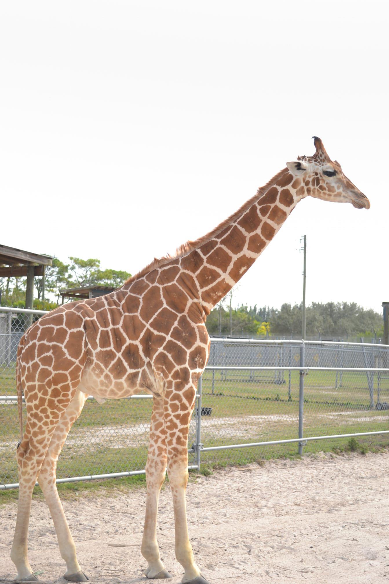 Two Giraffes Killed By Billion To One Lightning Strike At Florida Wildlife Park