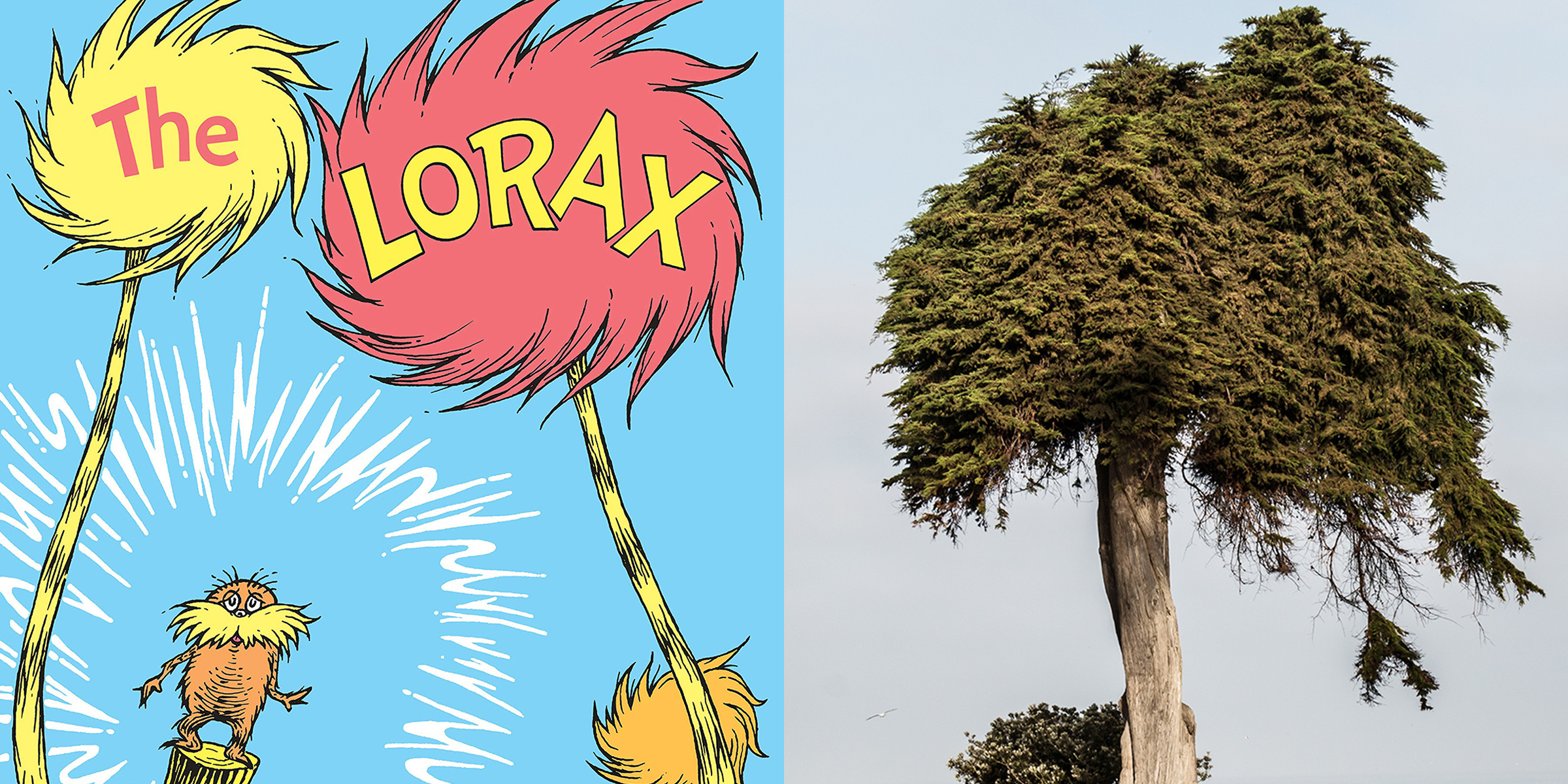 Monterey Cypress tree thought to have inspired the Dr. Seuss classic 'The Lorax' falls over