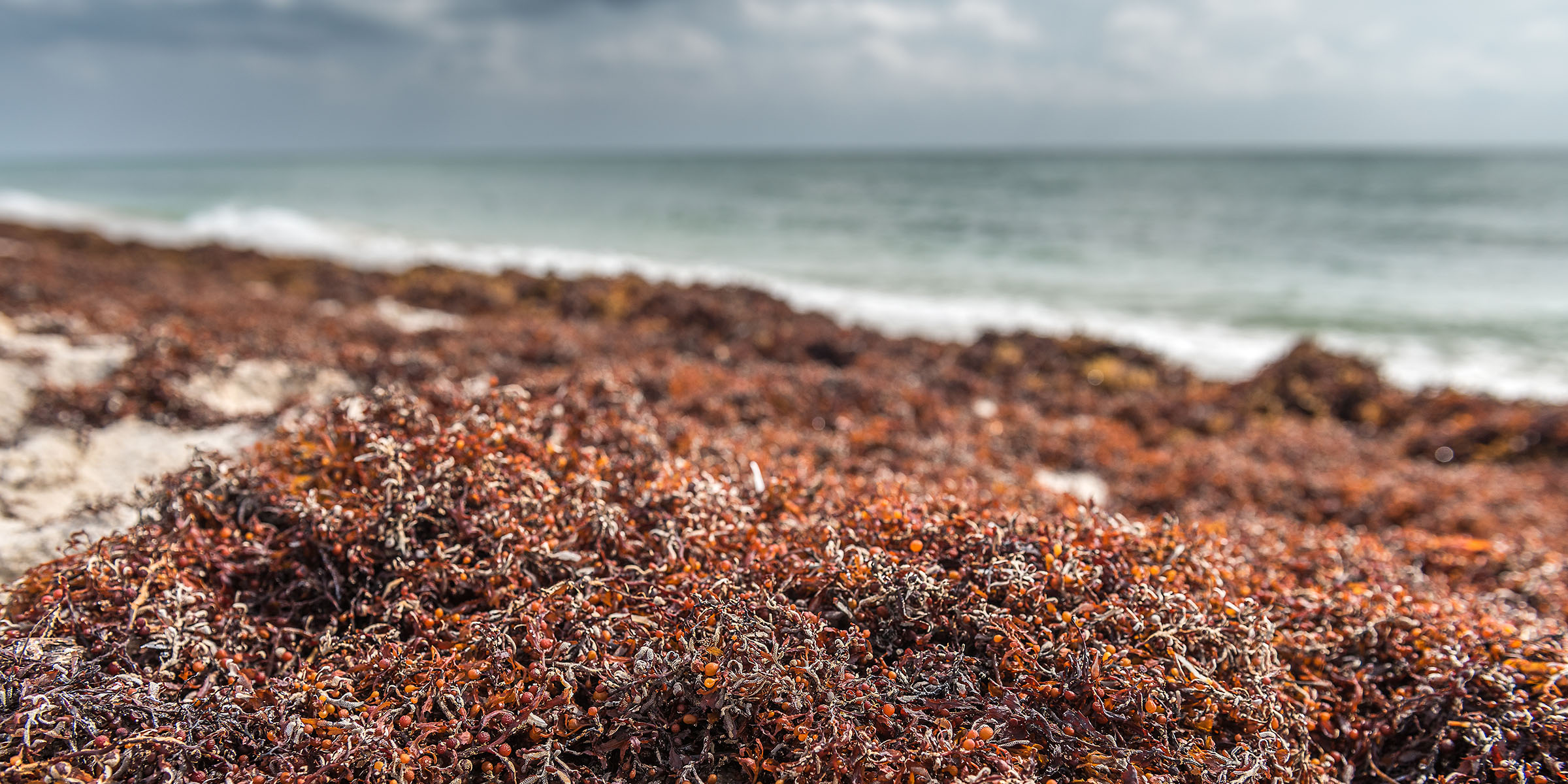 Smelly seaweed is overtaking beaches