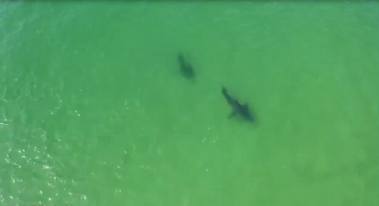 Video of sharks interacting off Massachusetts coast is a first