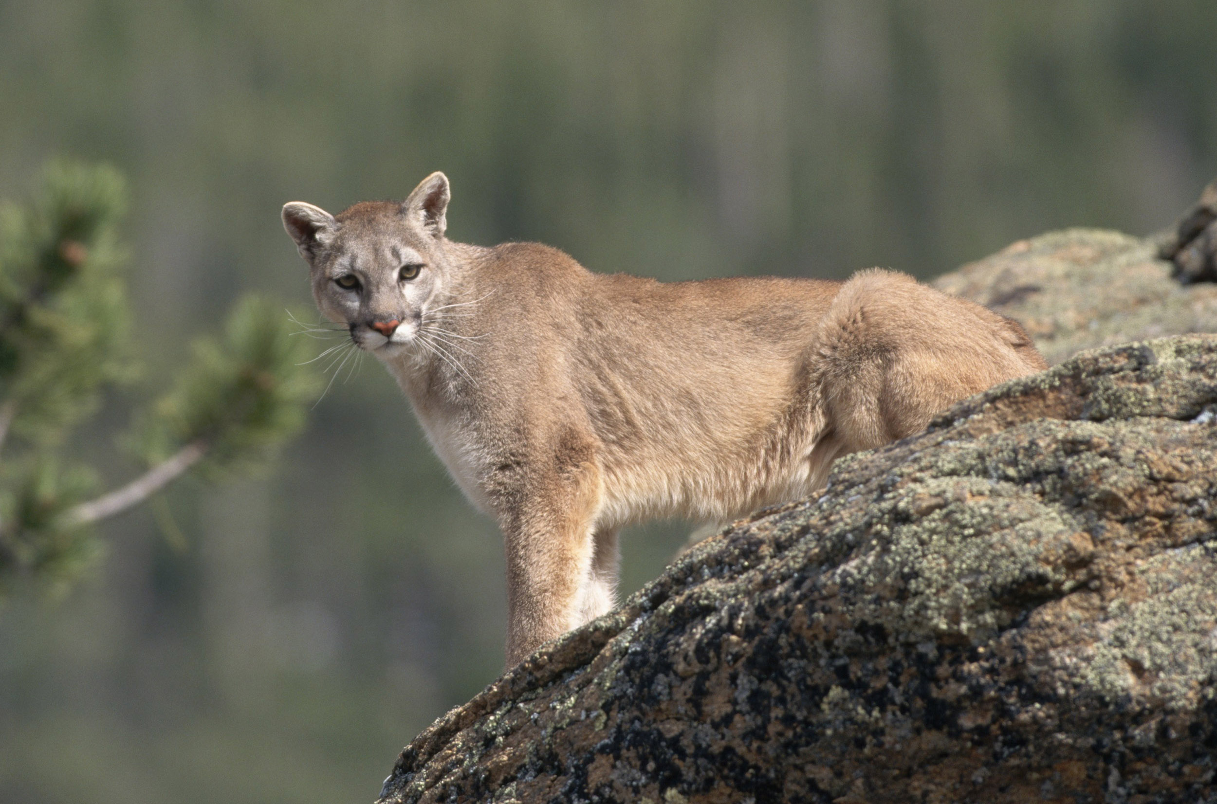 Mountain lion killed after attacking child in Southern California