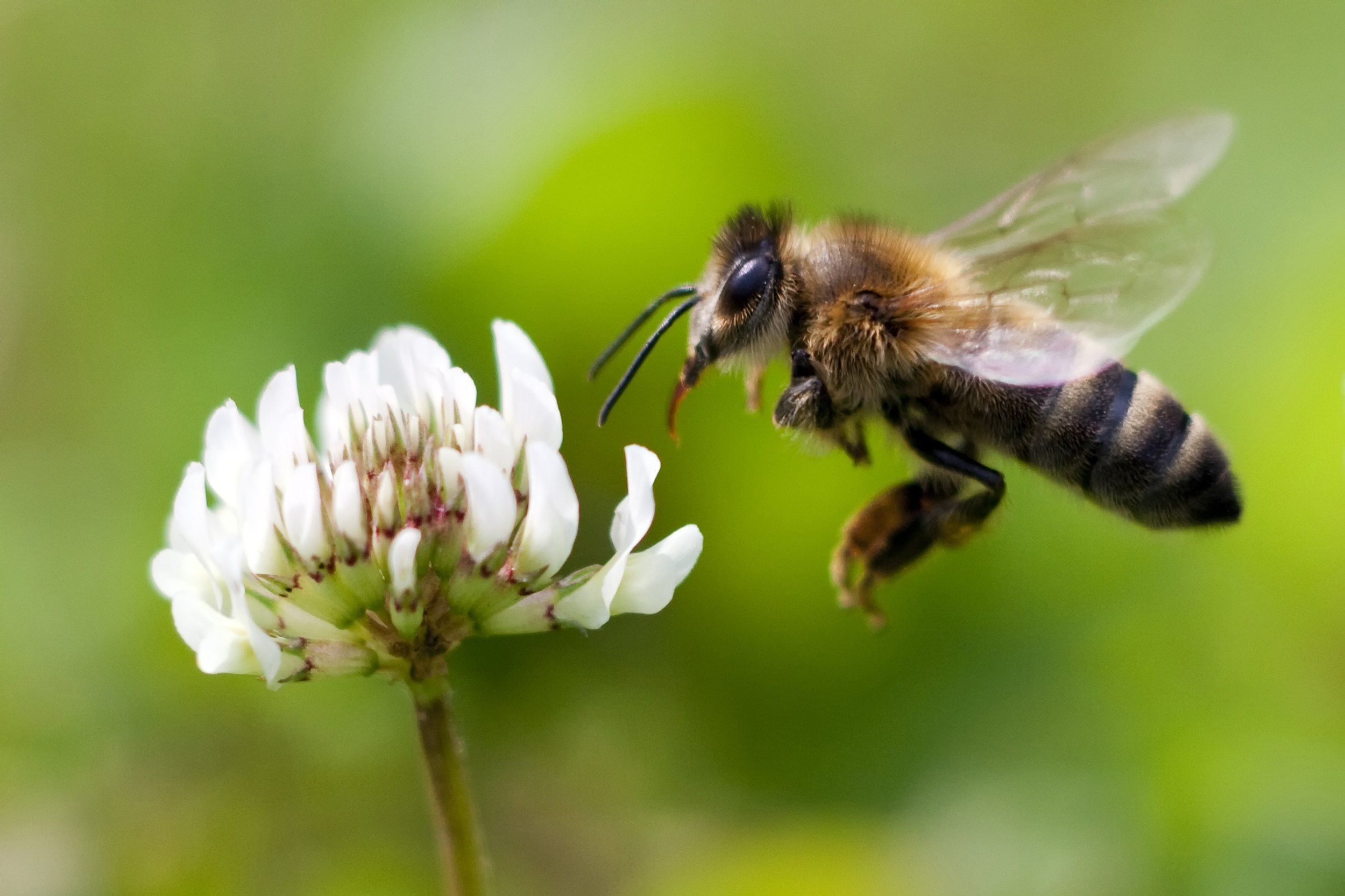 Bees will be used to deliver a new organic pesticide, but will it save them?