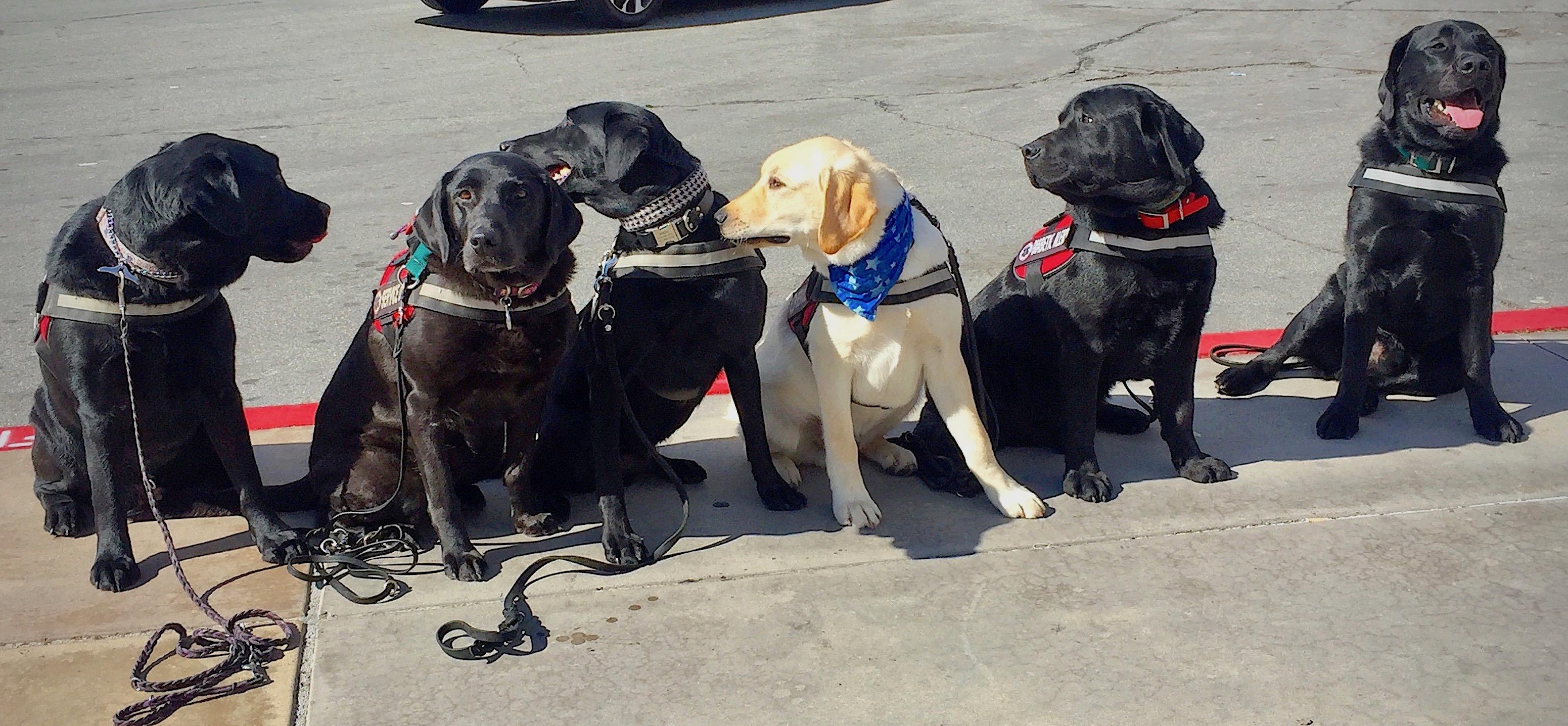 A line of Labrador retrievers trained as diabetic-detection dogs