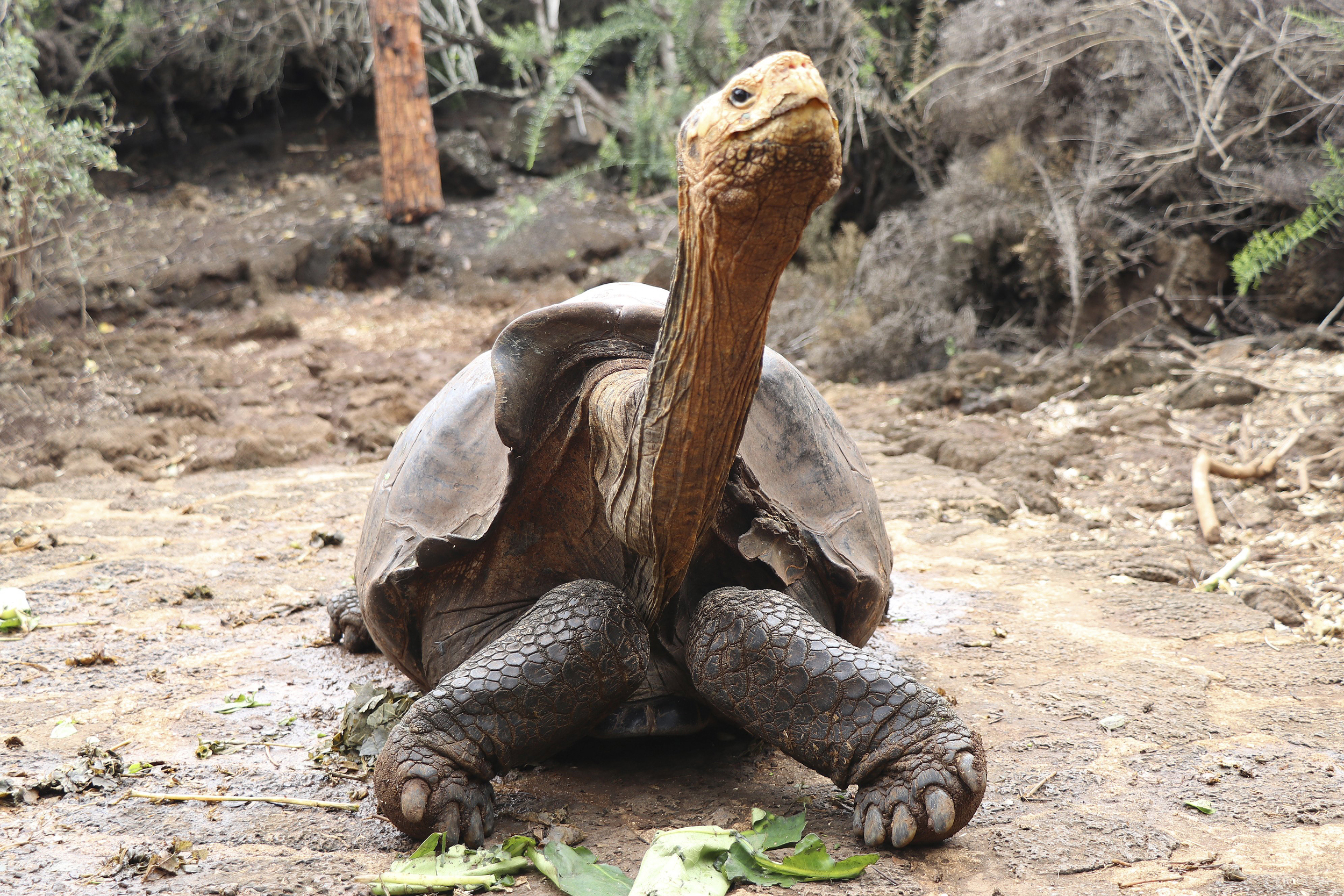 Giant Tortoise Who Helped Save Species Retires In Galapagos