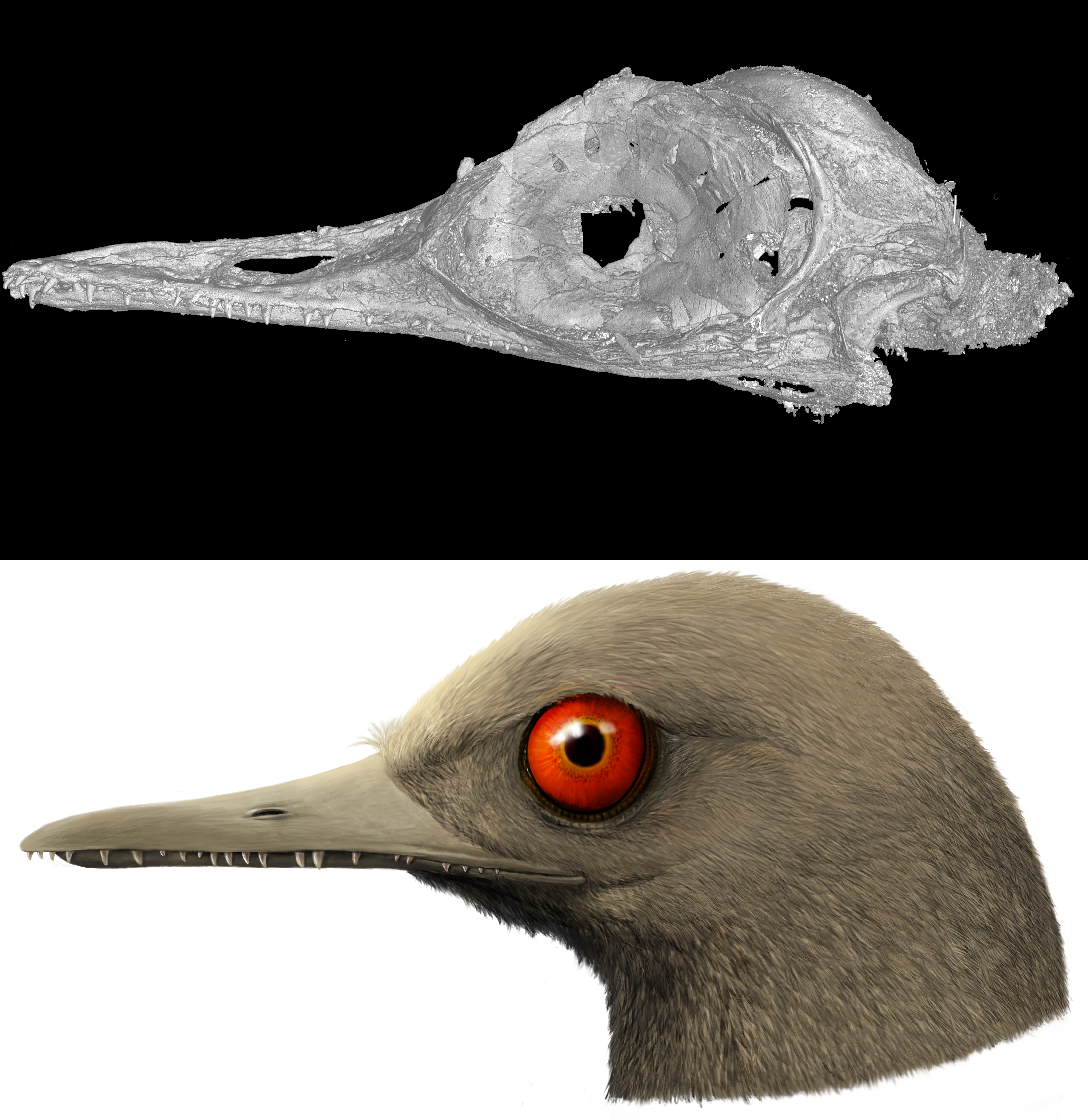 A CT scan of the skull of Oculudentavis by LI Gang, and an artistic rendering of Oculudentavis by HAN Zhixin, imagining what it looked like while alive 99 million years ago. (LI Gang; HAN Zhixin / Los Angeles Natural History Museum)