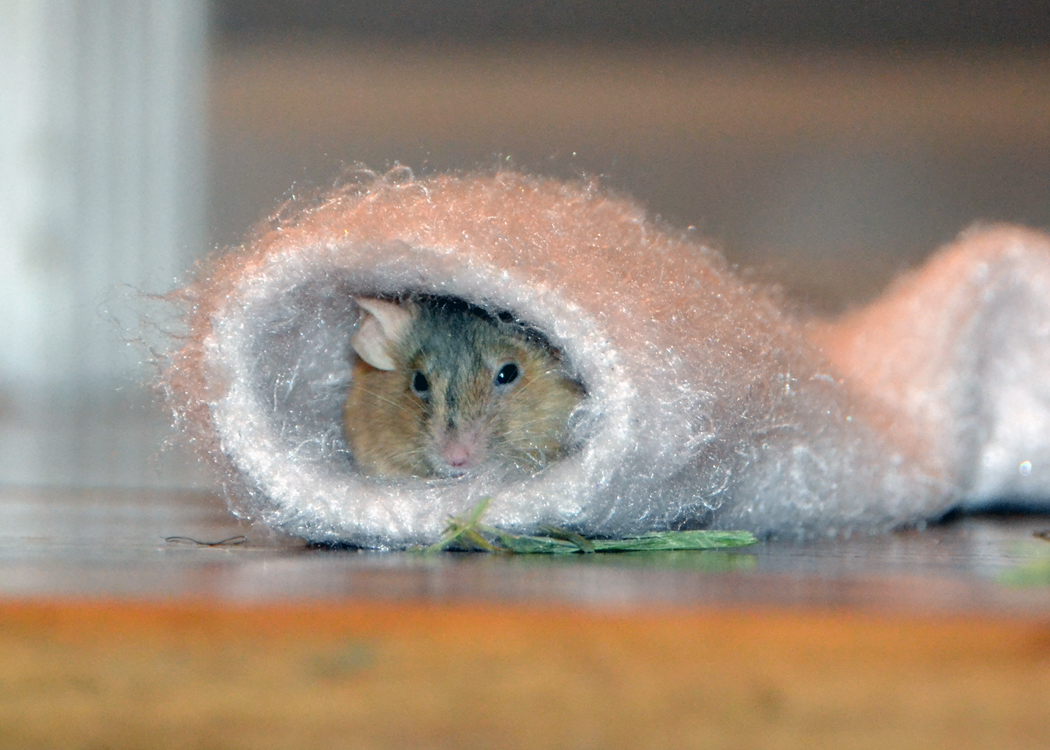 A mouse peeks out of a sock.