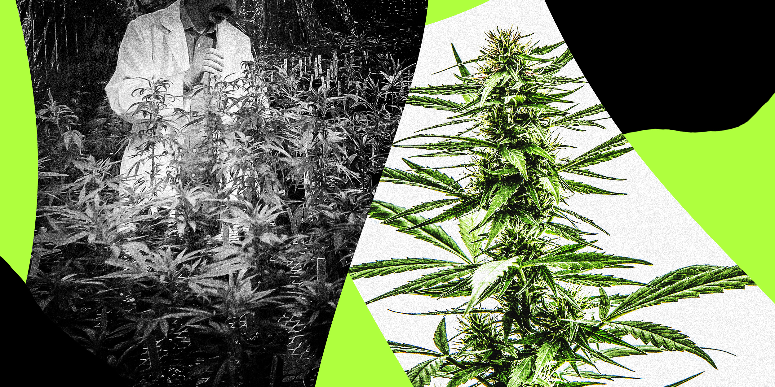 one doctor vs. the dea: inside the battle to study marijuana in america  nbc news