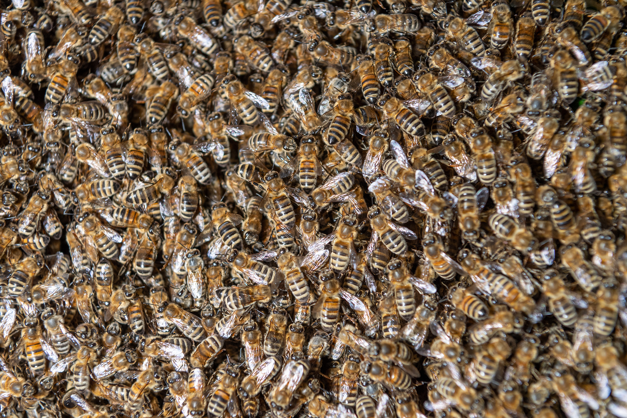 Man killed in Arizona bee swarm, two others hospitalized after hundreds of stings