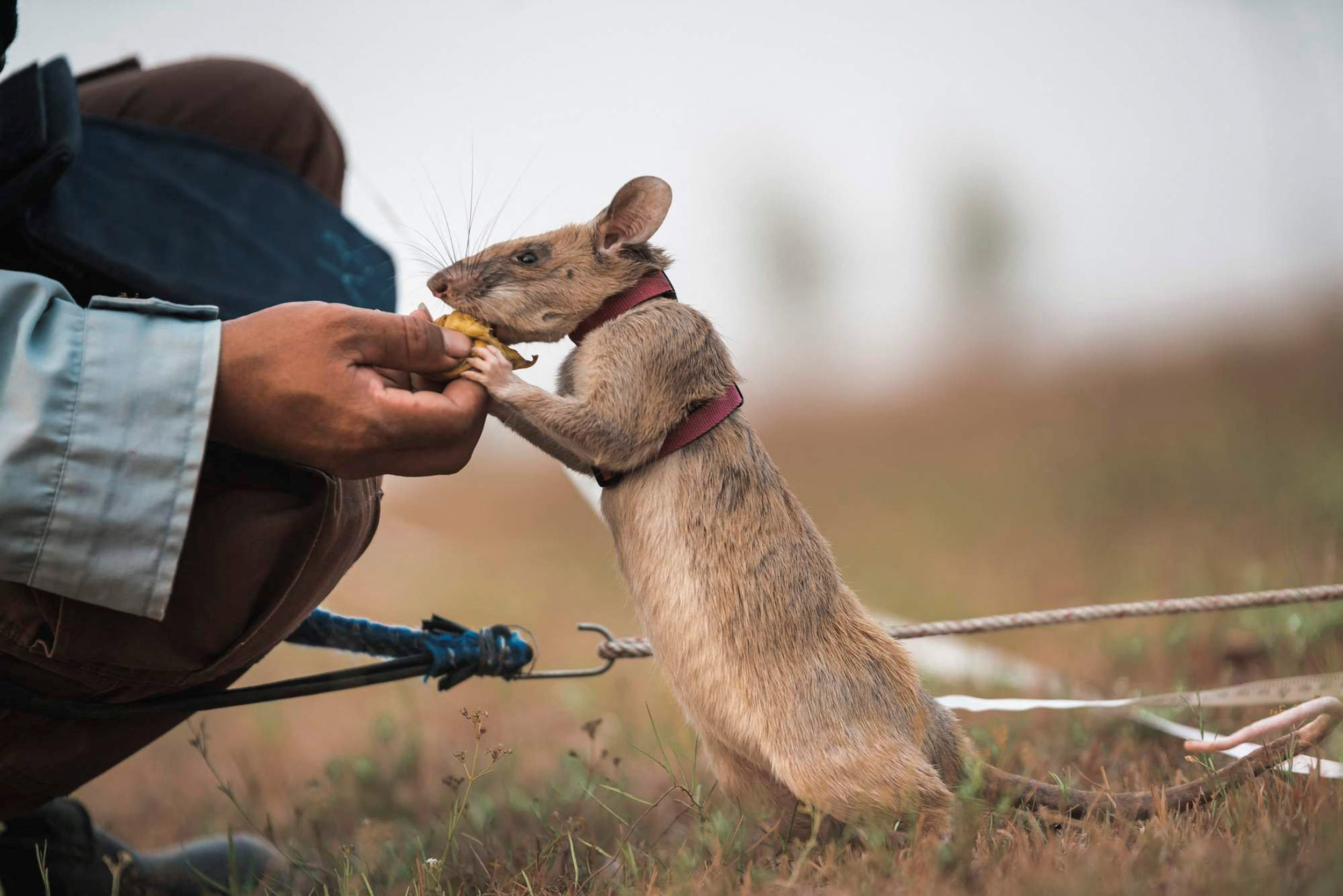 Rat called Magawa awarded prestigious gold medal for Cambodia landmine  detection