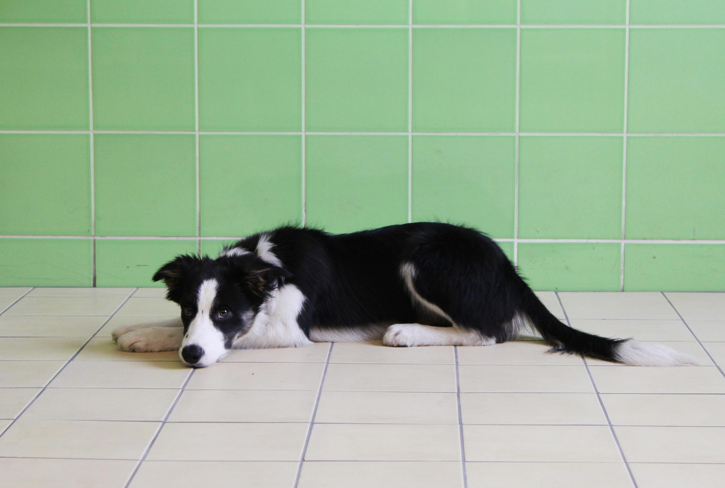 IMAGE: Un chien (Kubinyi)