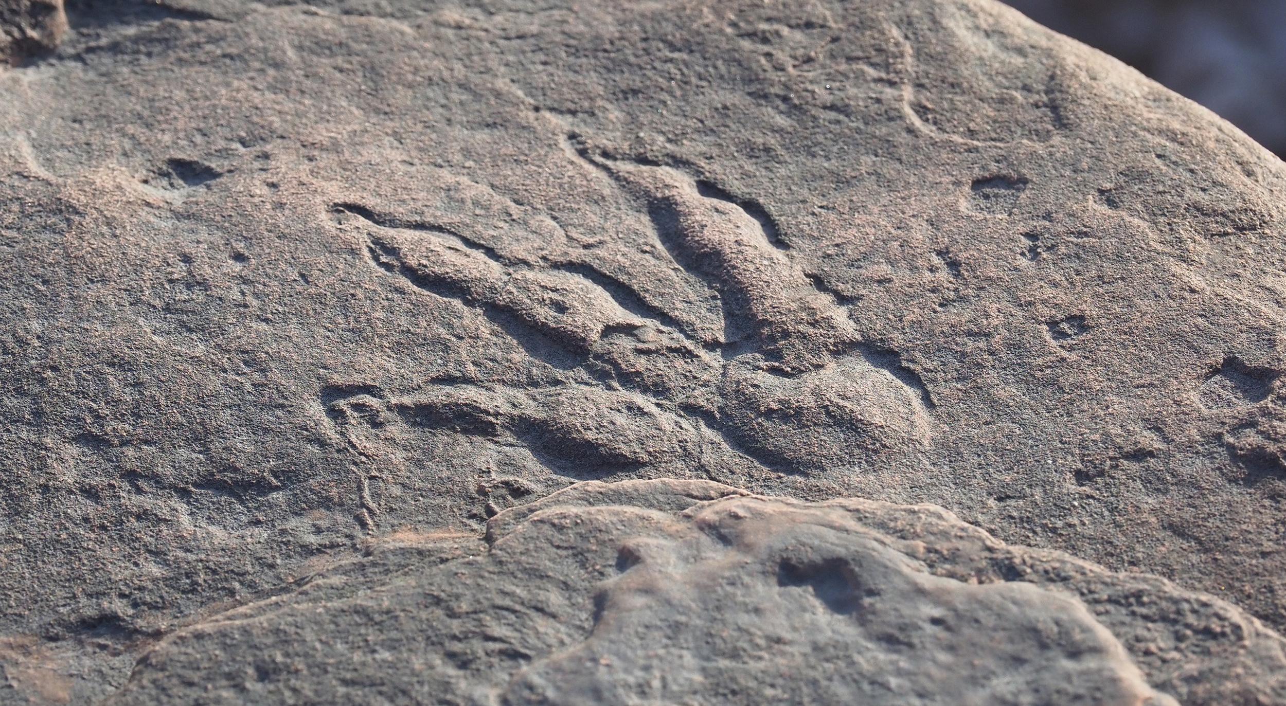 210130-grallator-footprint-al-0939_ab778